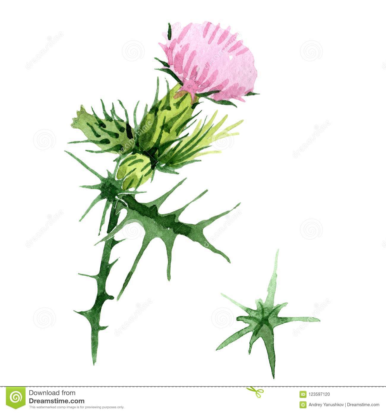 f1fb9d732 Watercolor pink and purple thistle wildflower. Floral botanical flower. Isolated  illustration element.