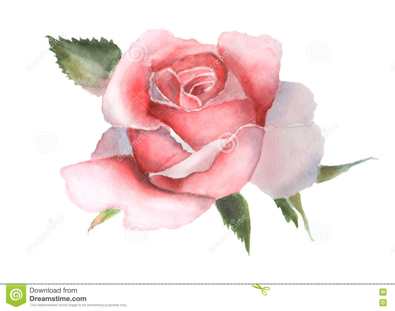Watercolor Pink Rose On White Handmade Drawing Stock Illustration