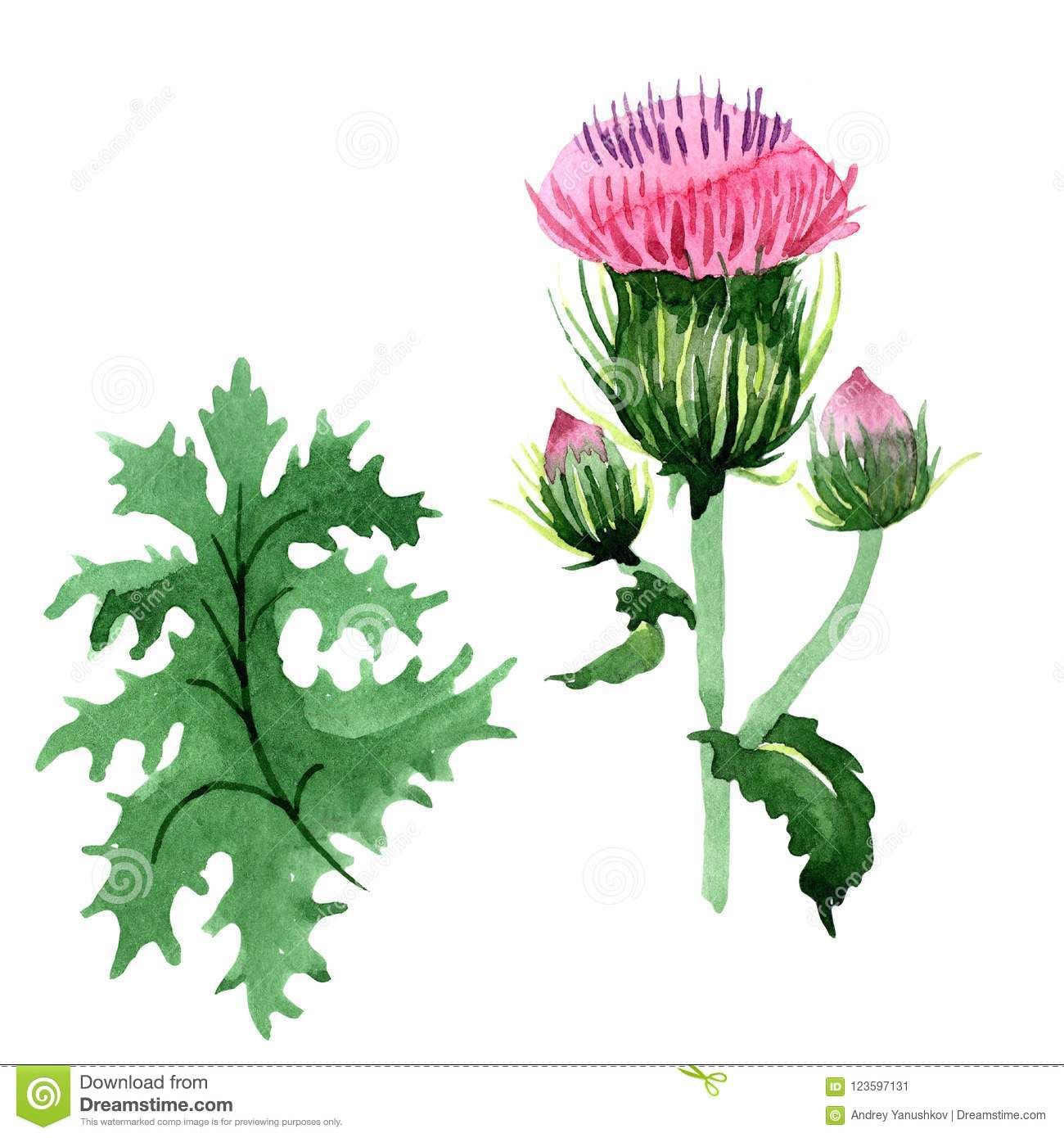 13b180977 Watercolor pink thistle wildflower. Floral botanical flower. Isolated  illustration element.