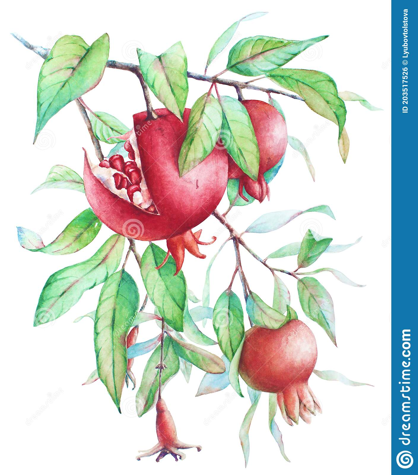 Watercolor Pomegranate Tree Branch With Fruits And Green Leaves Stock Illustration Illustration Of Background Isolated 203517526