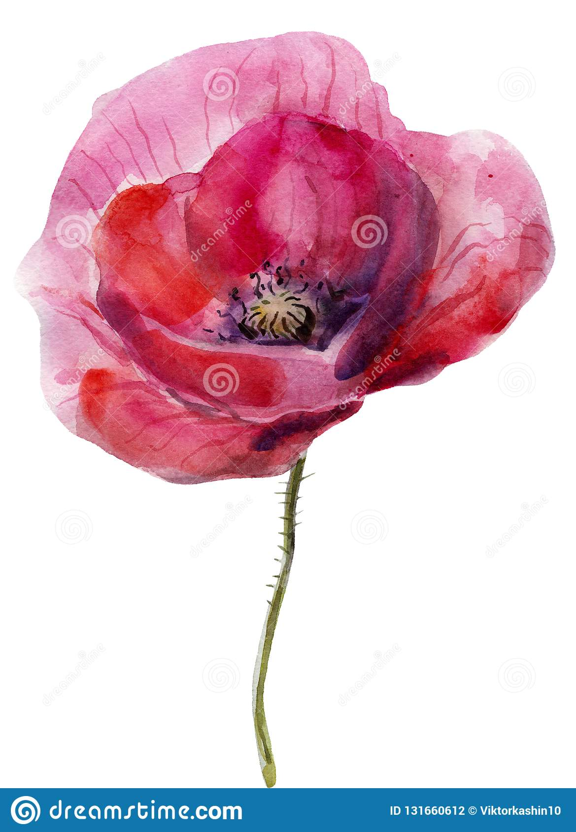 Watercolor Poppy The Flower Clipart Isolated On A White Background