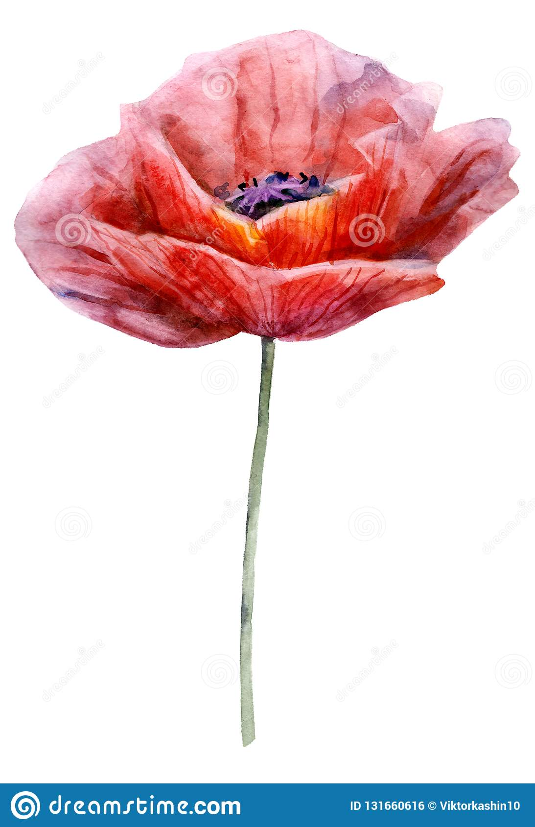 Watercolor poppy. The flower clipart isolated on a white background. Hand painted illustration for design prints.