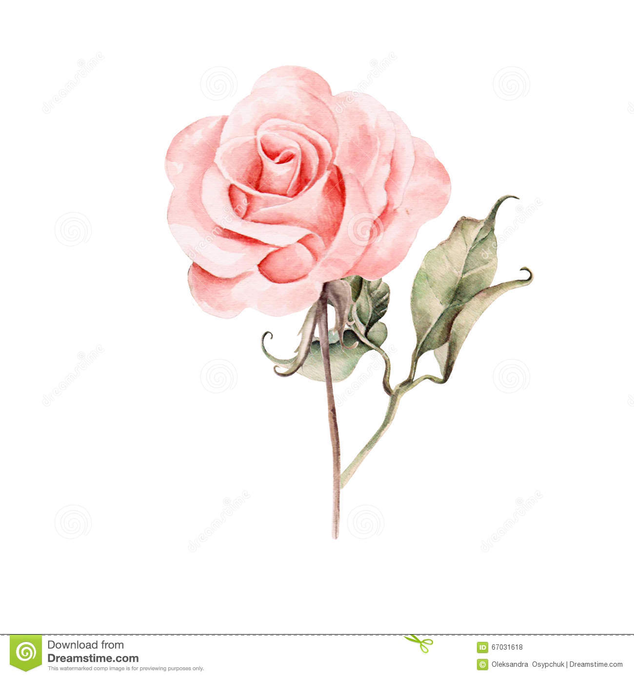 watercolor realistic rose hand drawing stock illustration image
