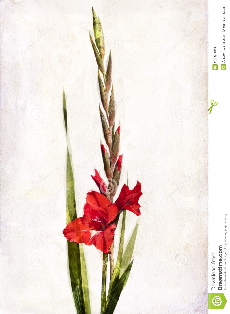watercolor red gladiolus royalty free stock photos
