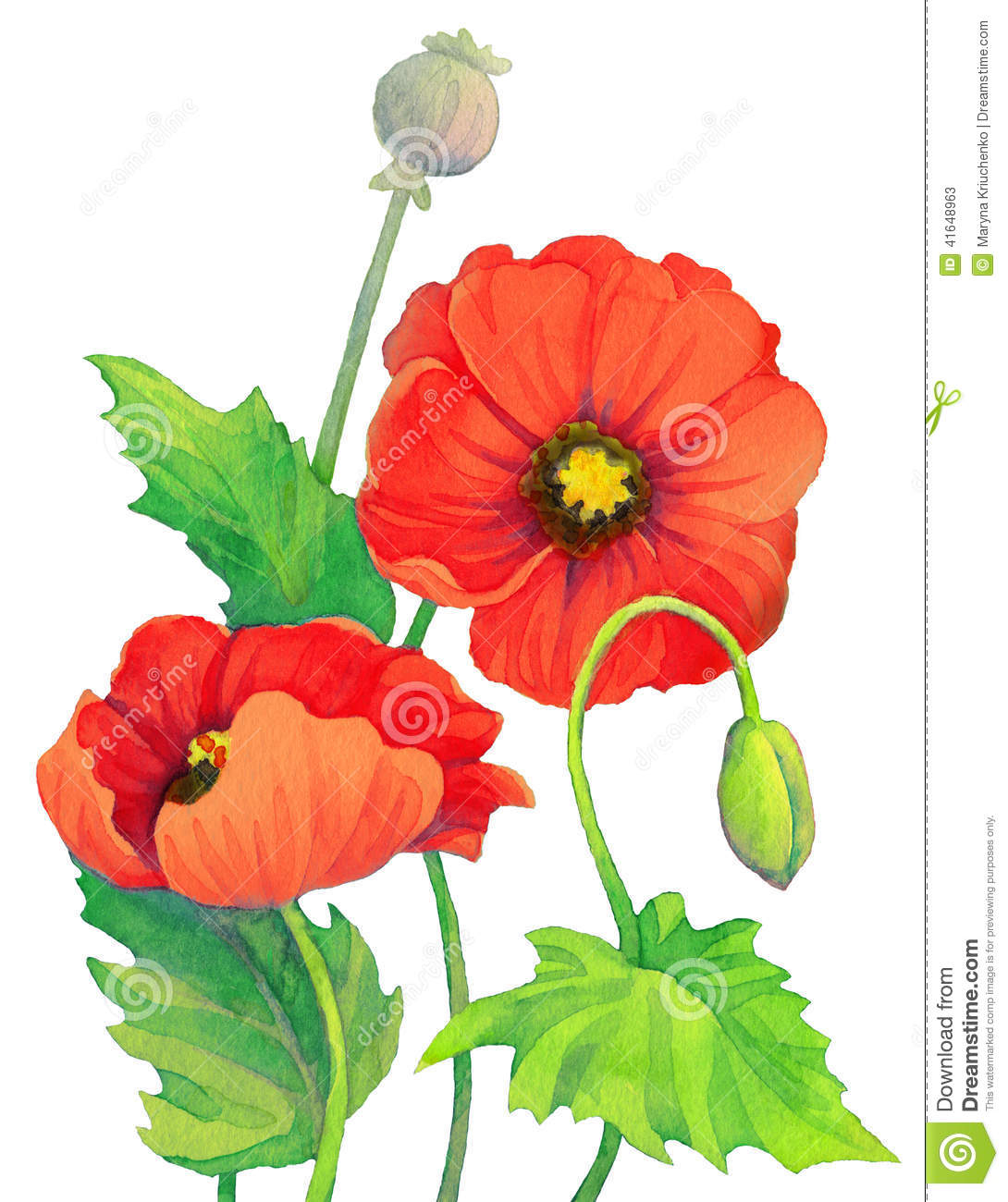 Watercolor Red Poppies Flowers Bud And Capsule Poppy Head Stock