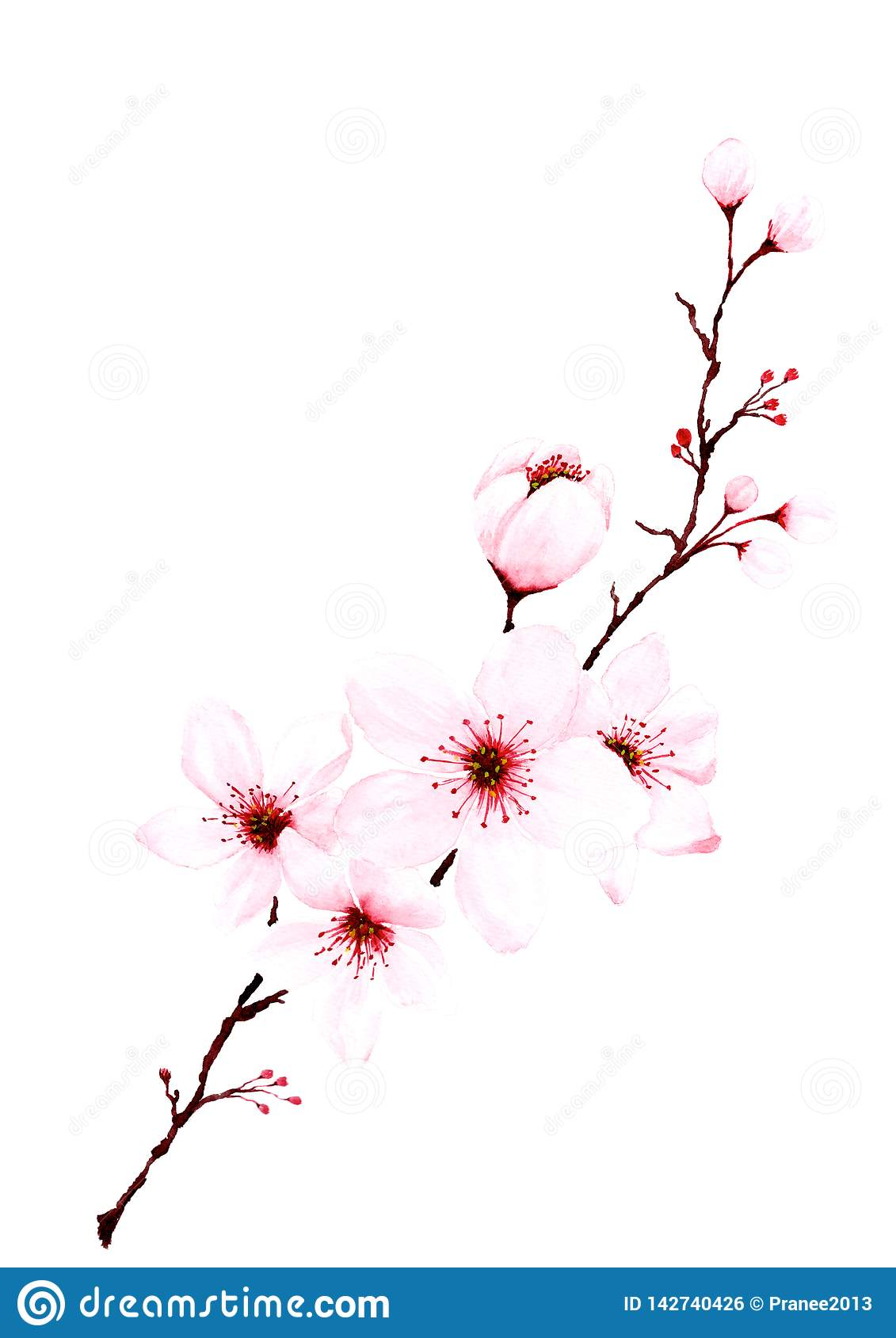 Watercolor Sakura Branches Hand Painted Stock Illustration Illustration Of Blossom Isolated 142740426