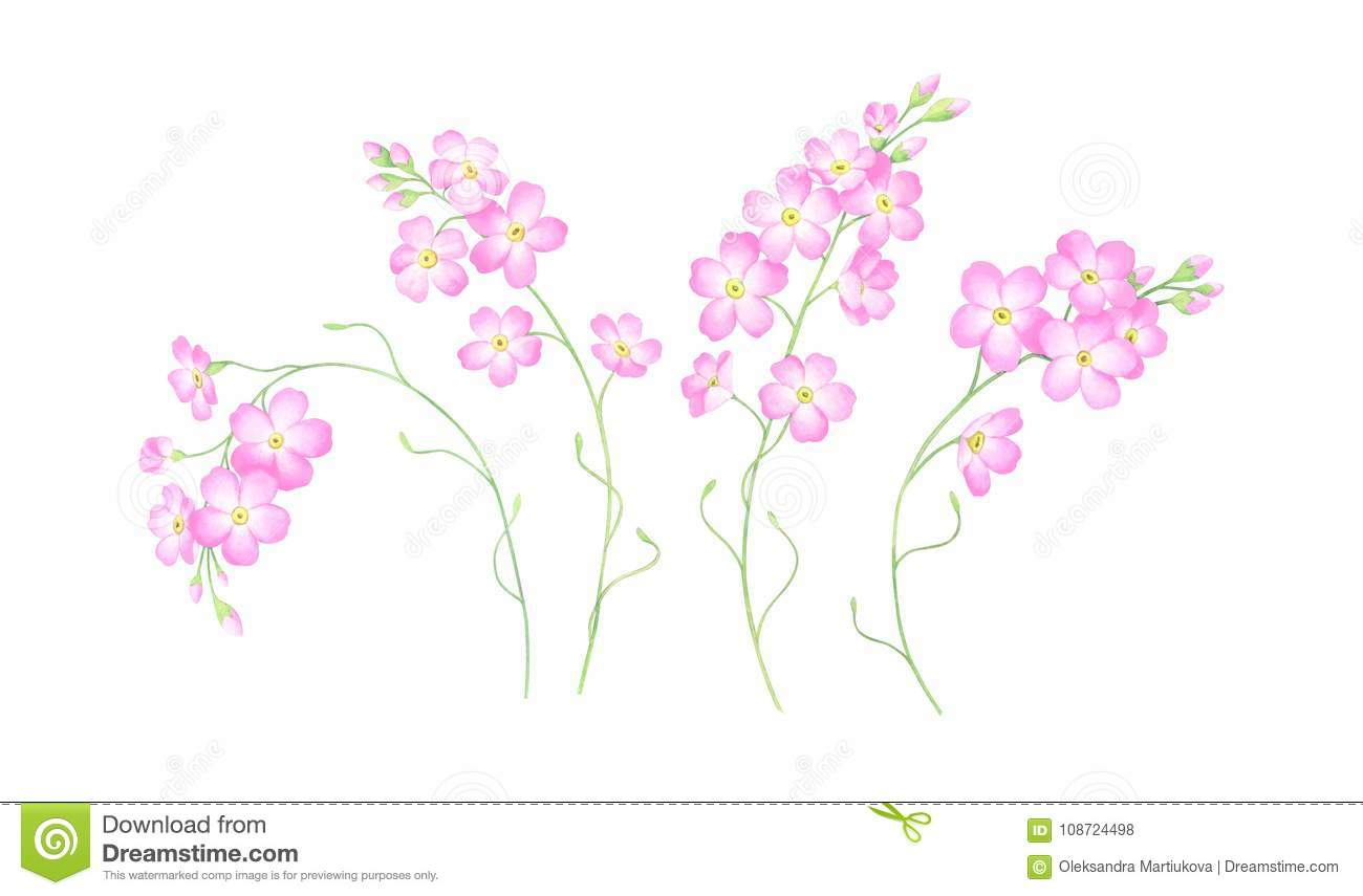 Watercolor Set Of Pink Forget Me Not Flowers Isolated On White
