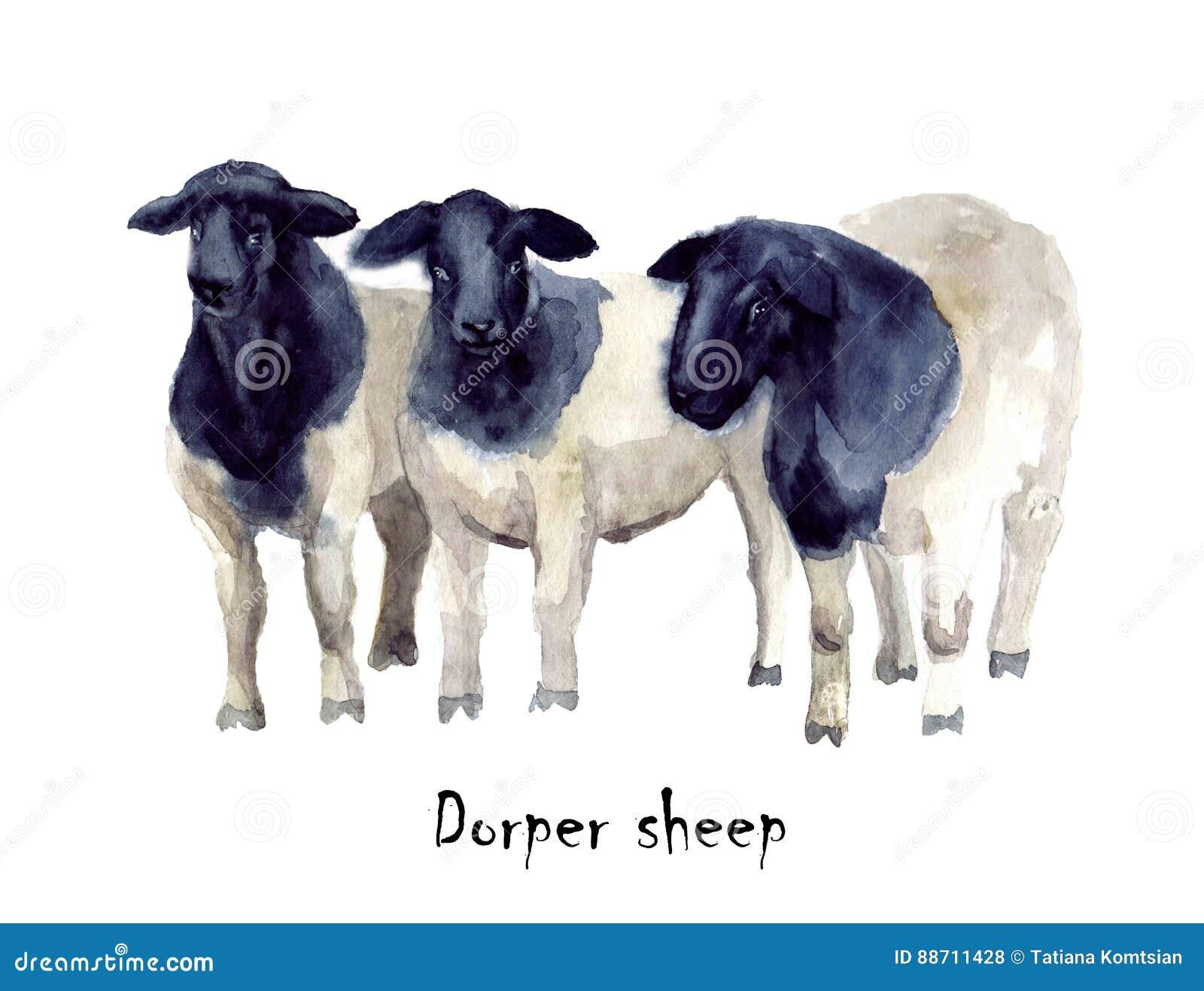 muslim singles in sheep ranch Sheep scanning jan 2018 dale farm thawing out sunshine, snow, single ewes lambing prep / sheep sorting - duration semper grazing ranch.
