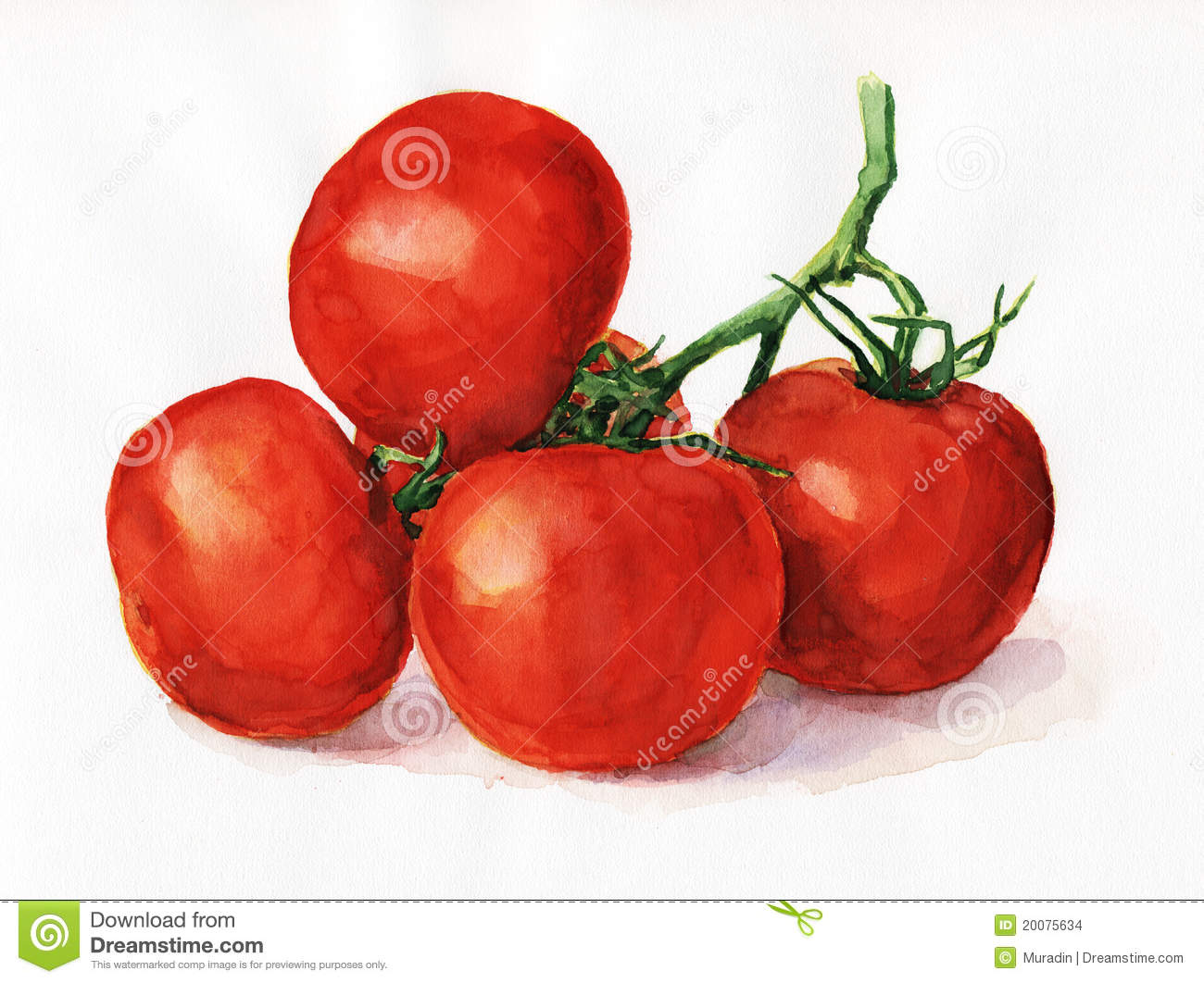 watercolor tomatoes stock illustration  image of