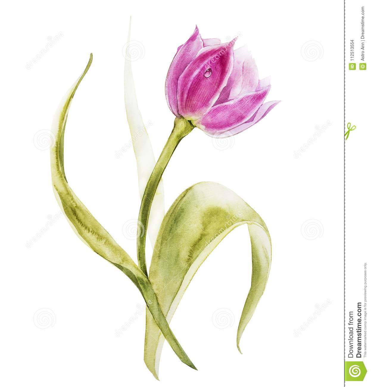 Watercolor tulips flowers. Spring or summer decoration floral botanical illustration. Watercolor isolated. Perfect for