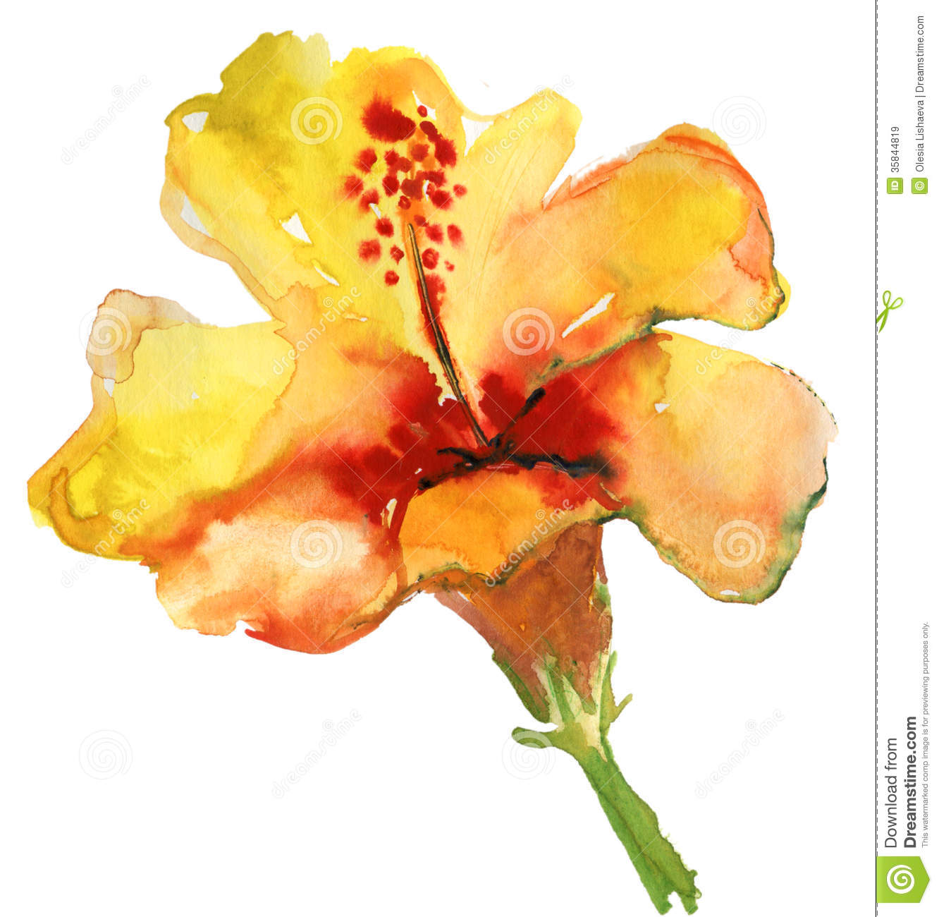 Watercolor Yellow Hibiscus Stock Illustration Illustration Of Petal