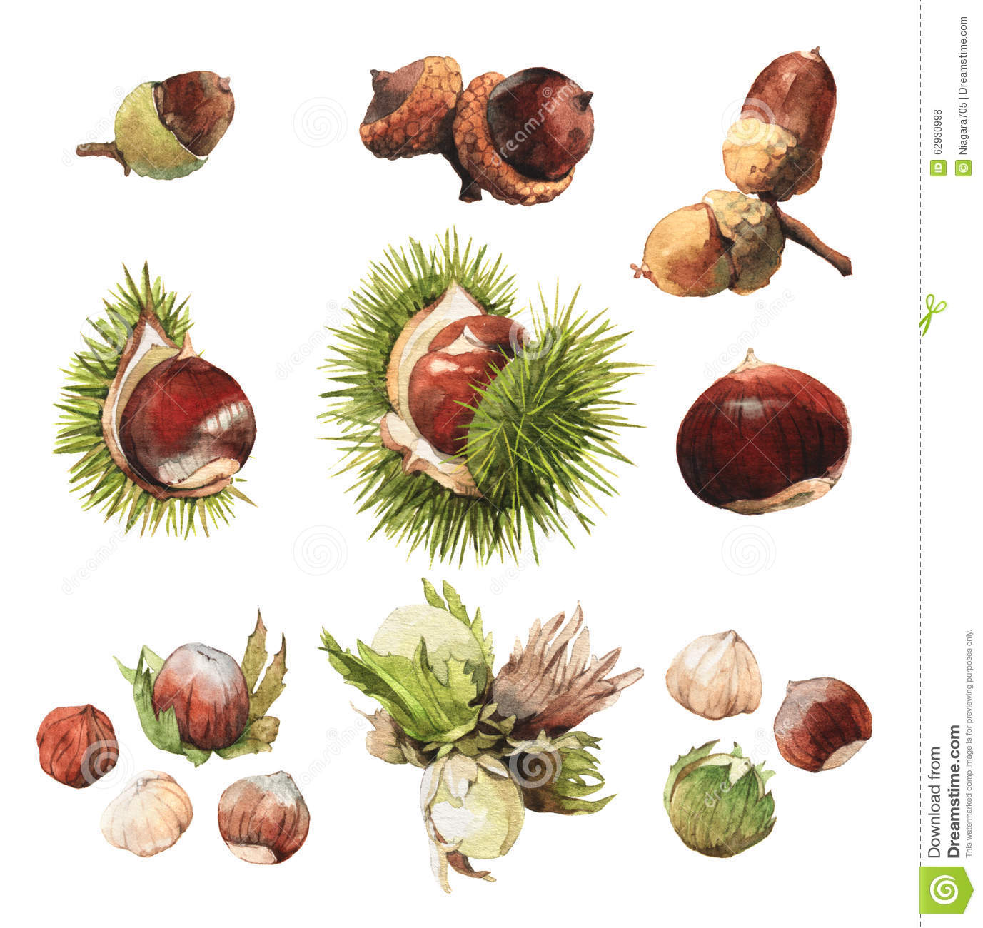 watercolour clip art illustrations of true nuts stock