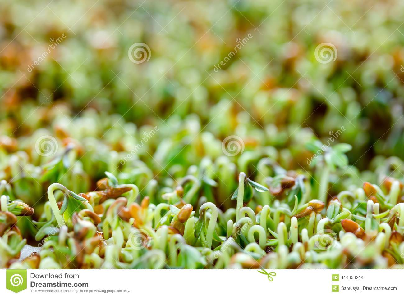 Watercress Or Cress Salad Young Sprouts Growing Stock Photo