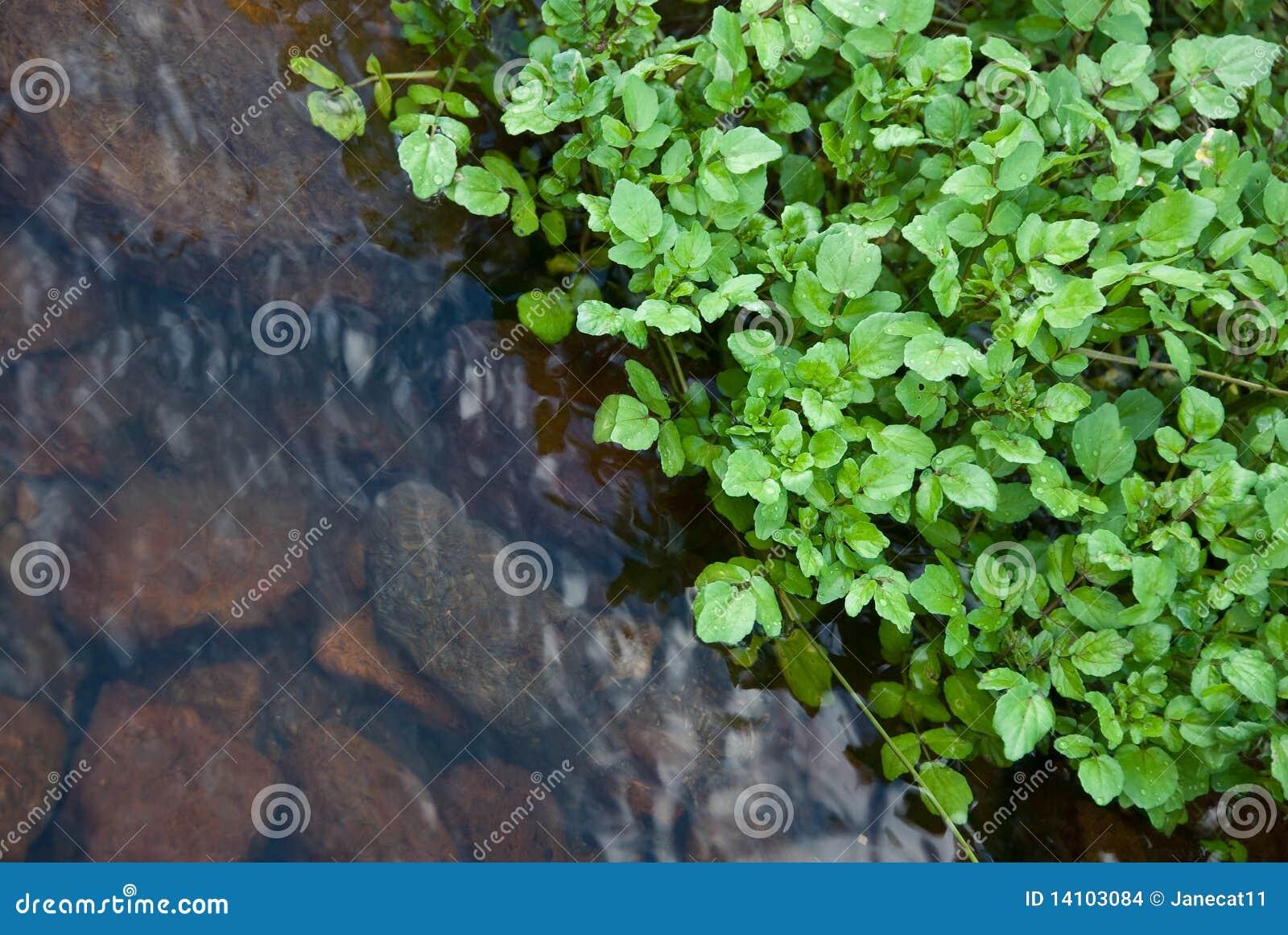 Watercress stream