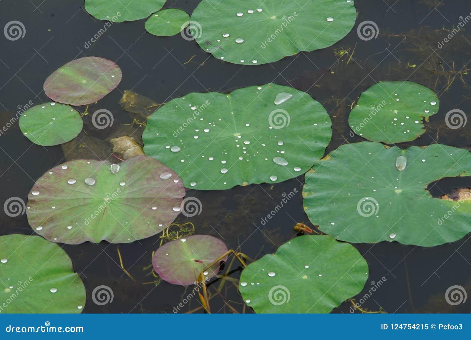 Waterdauw op de lotusbloembladeren