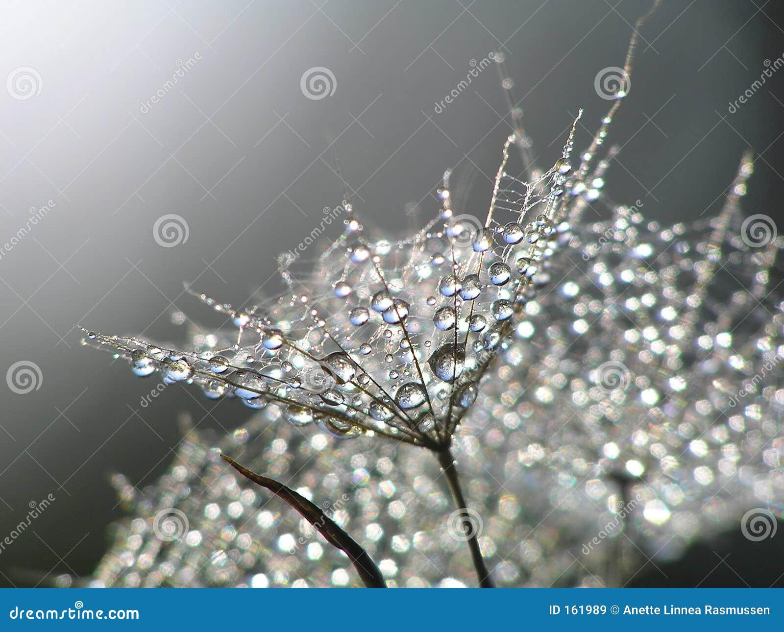 Waterdrops on dandelion