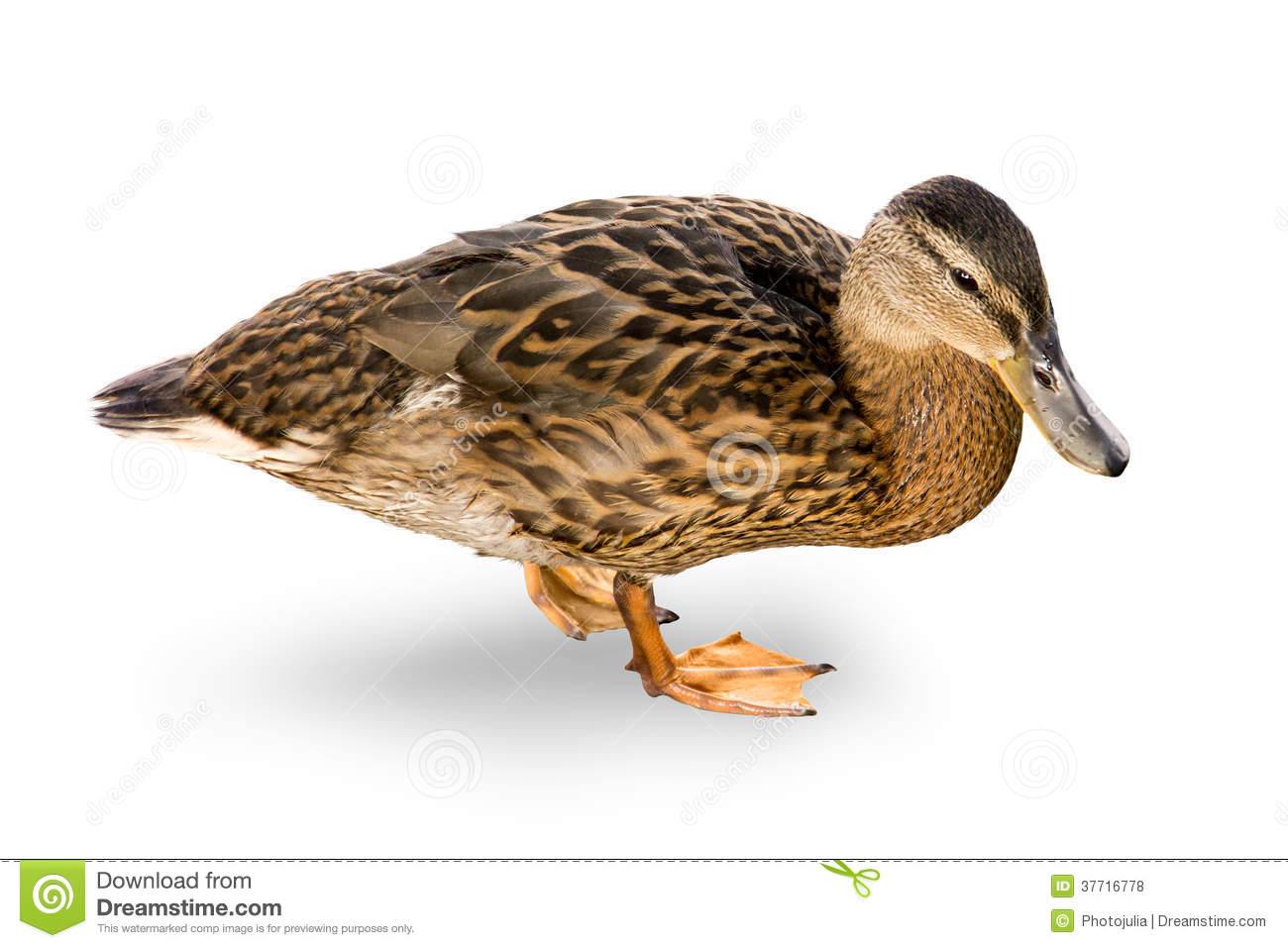 Waterfowl Duck On A White Background. Royalty Free Stock Photos ...