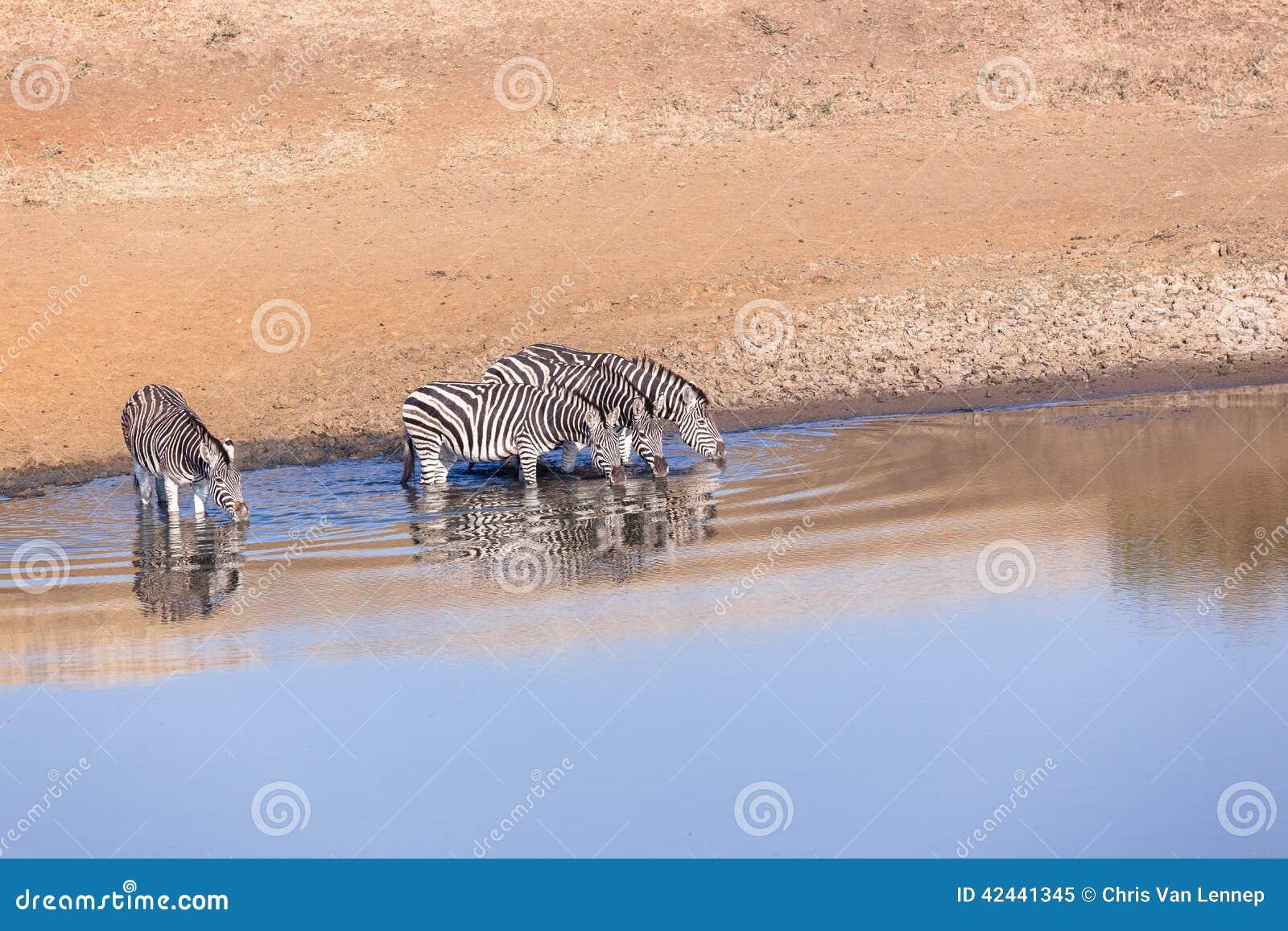 Waterhole de la cebra de los animales cuatro de la fauna