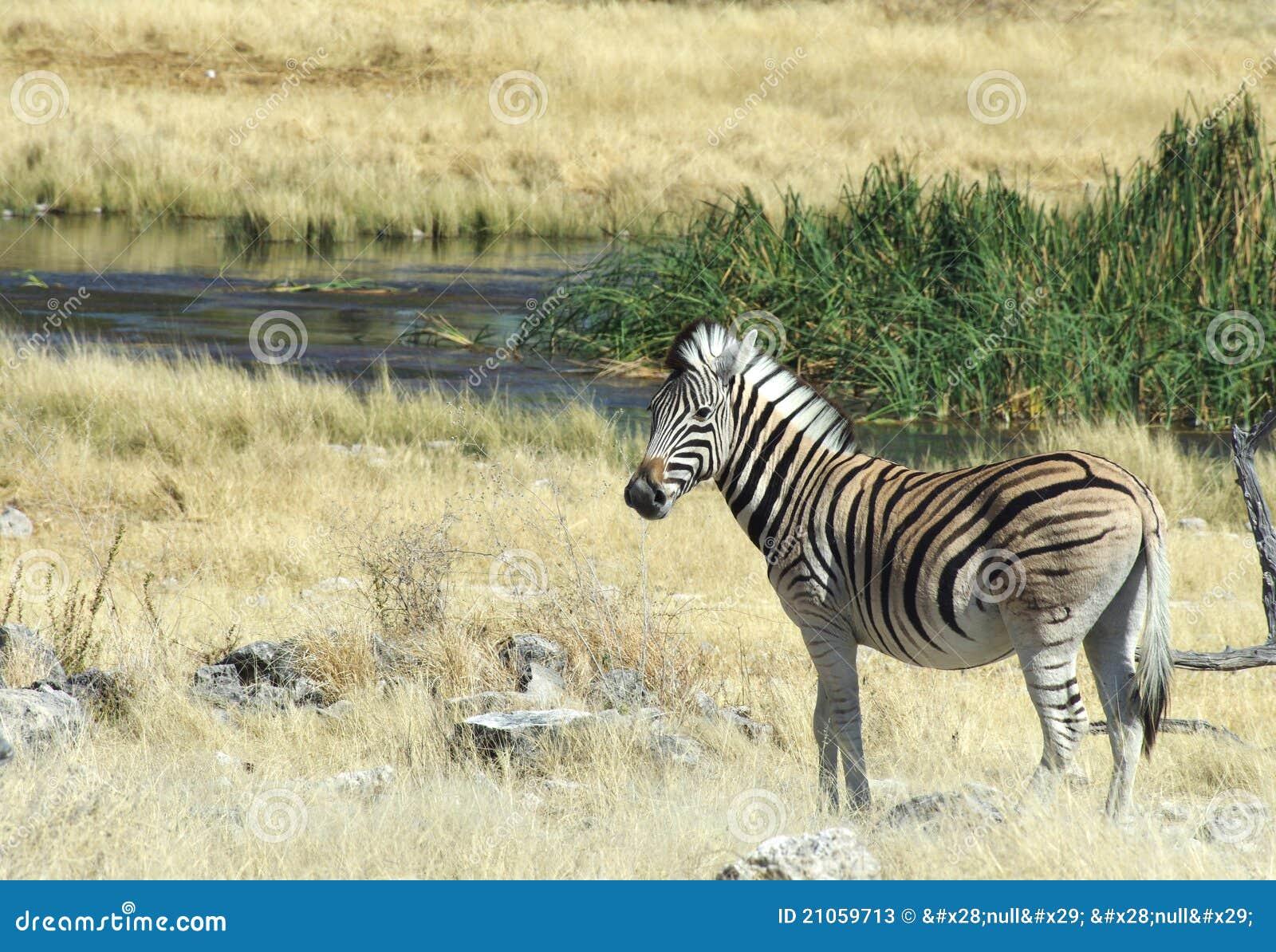 Waterhole zebra