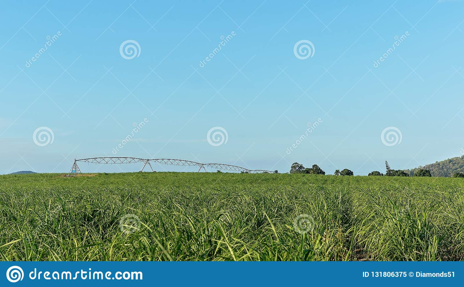Watering A Crop Of Young Sugar Cane On A Plantation