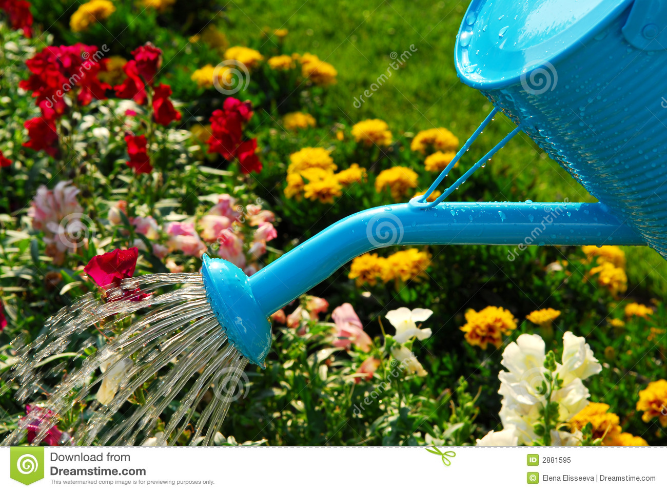 Water pouring from blue watering can onto blooming flower bed.