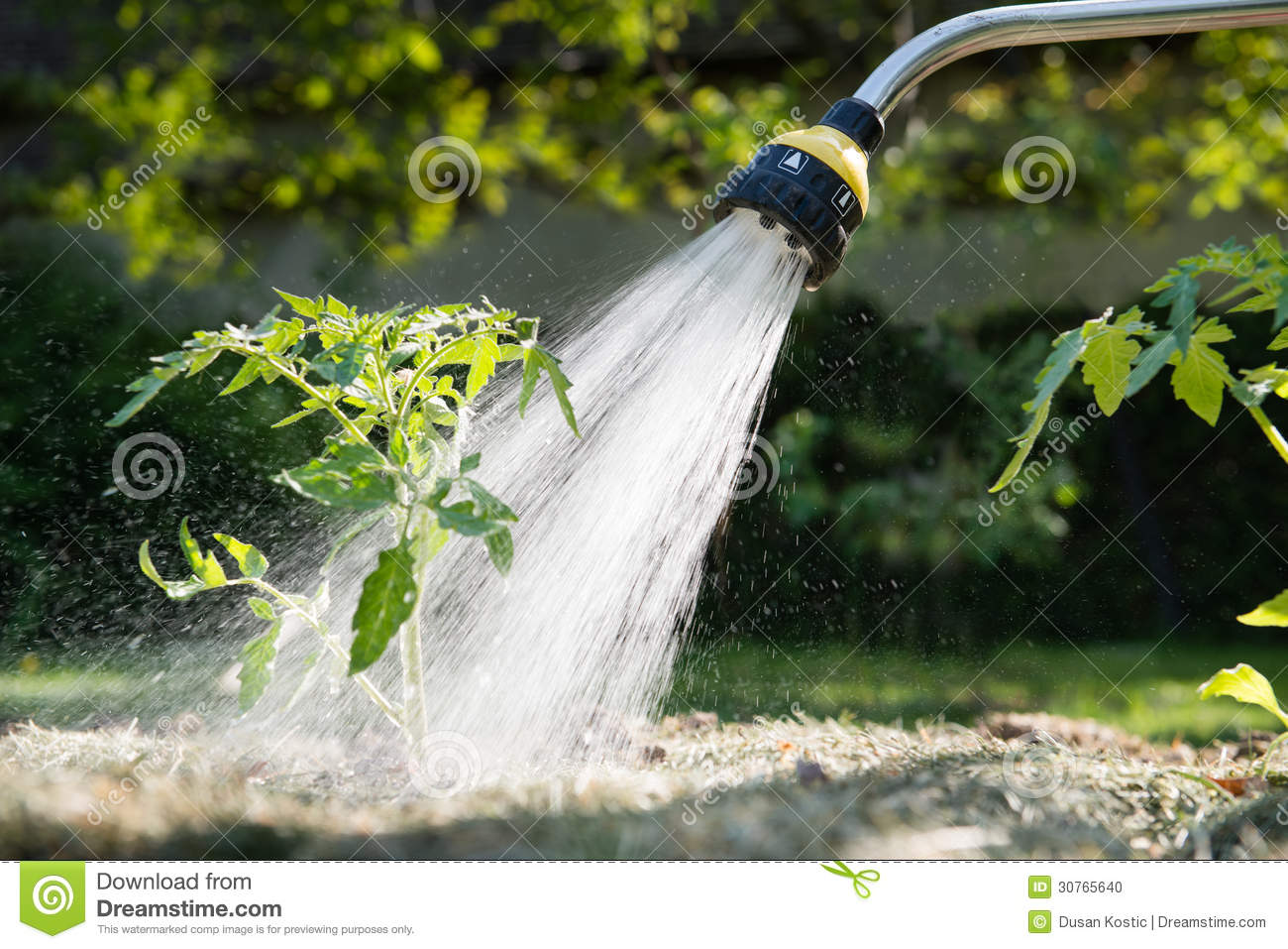 Watering seedling tomato stock photo image 30765640 for Watering vegetable garden
