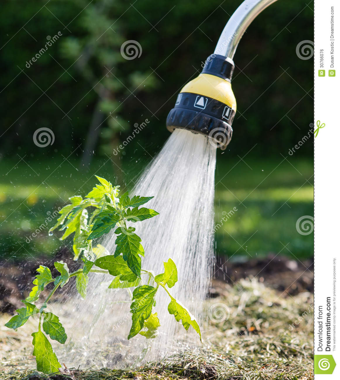 Watering seedling tomato stock photo image of water for Watering vegetable garden