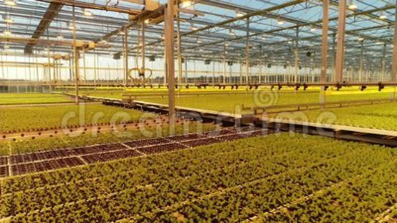 Green plants growing under the watering system inside the glasshouse. Watering systems inside the modern high tech greenhouse with many small green plants stock footage