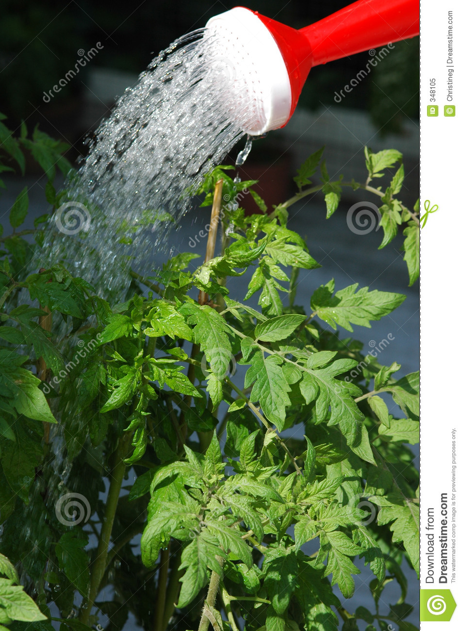 Watering the tomato plants stock image image of growing for Plant waterer