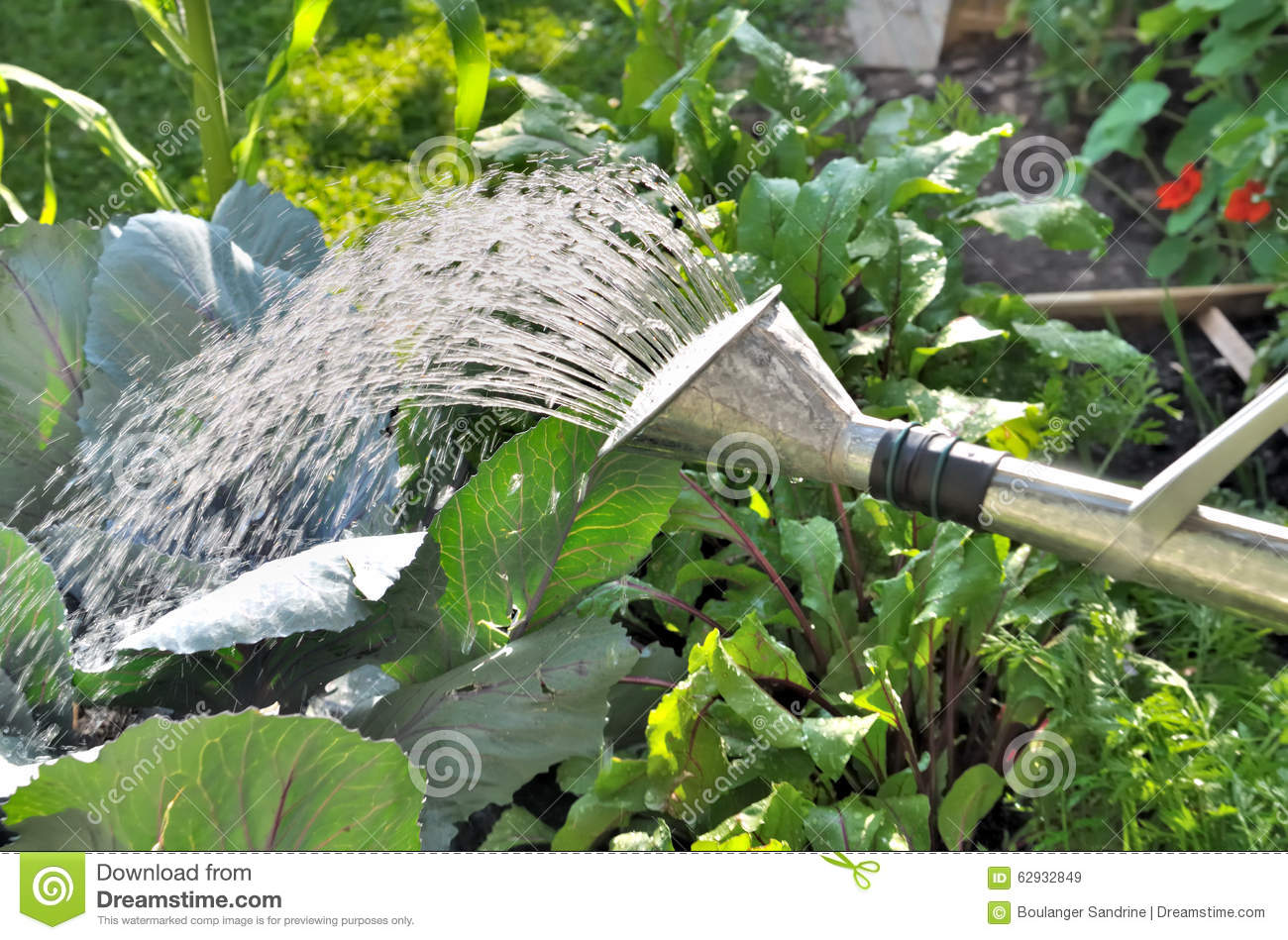 Watering vegetables in summer stock photo image 62932849 for Watering vegetable garden