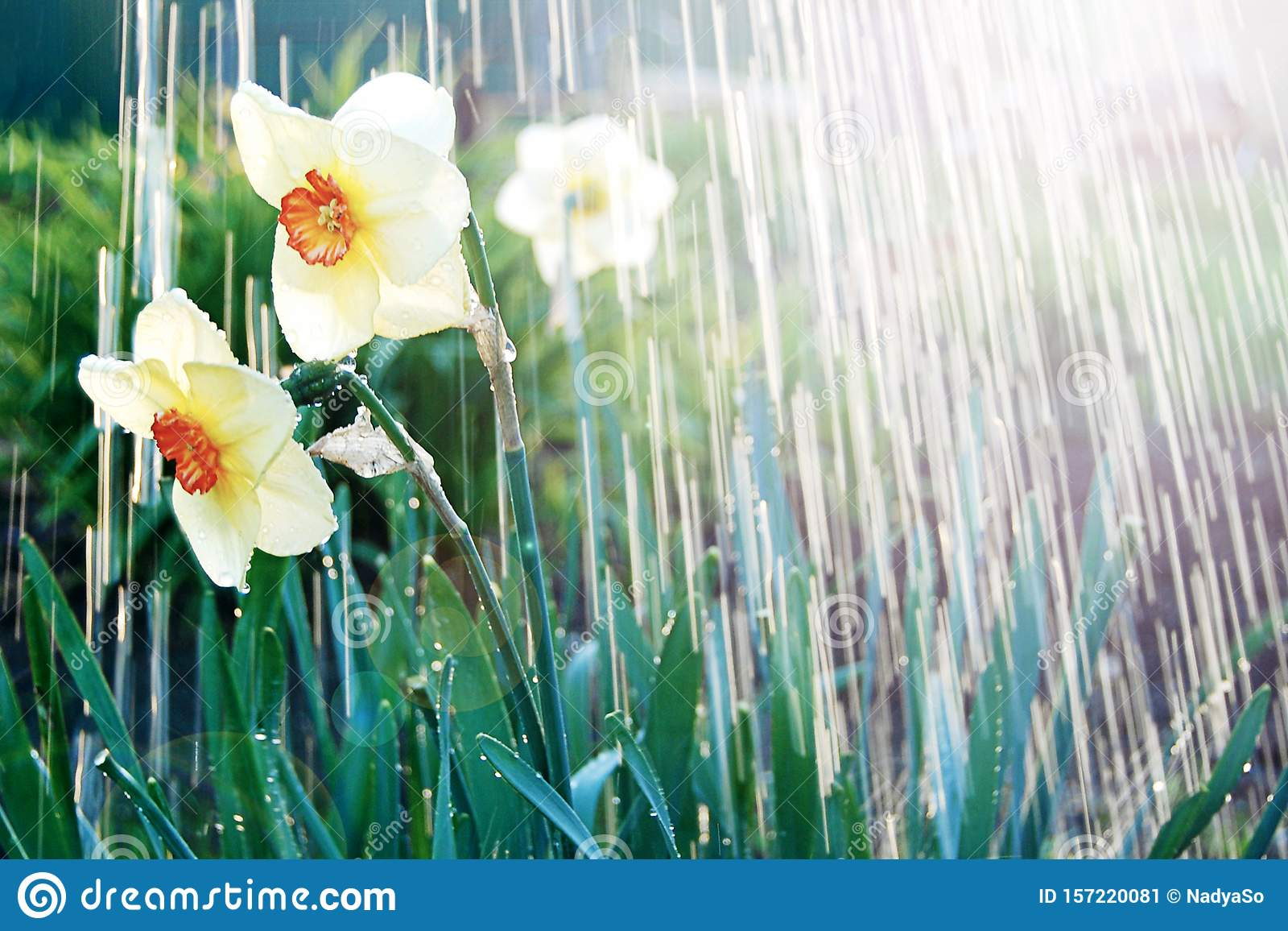 Watering beutiful flowers dafodills, sunburst and pouring water. April showers