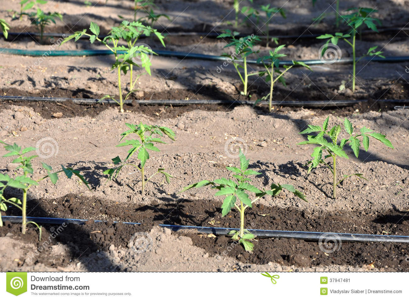 Watering young tomato plant in open soil stock image for Soil young s modulus