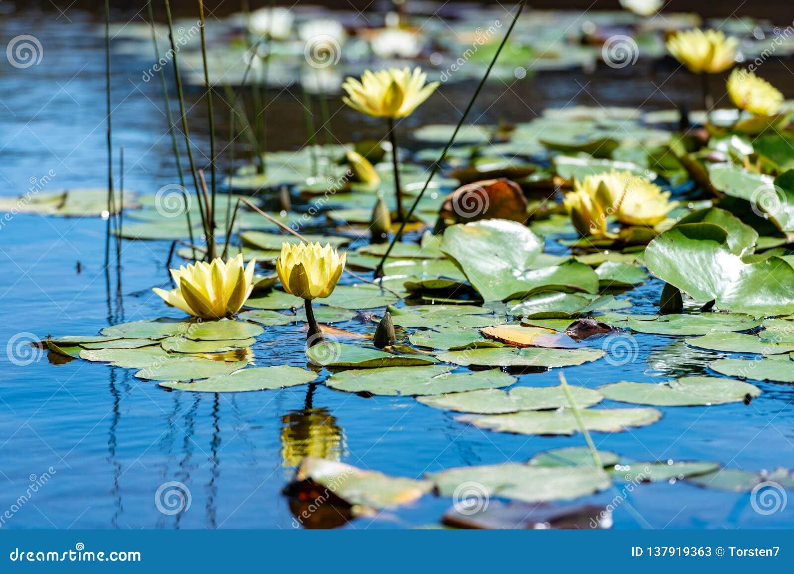 Waterlelies op een kleine vijver