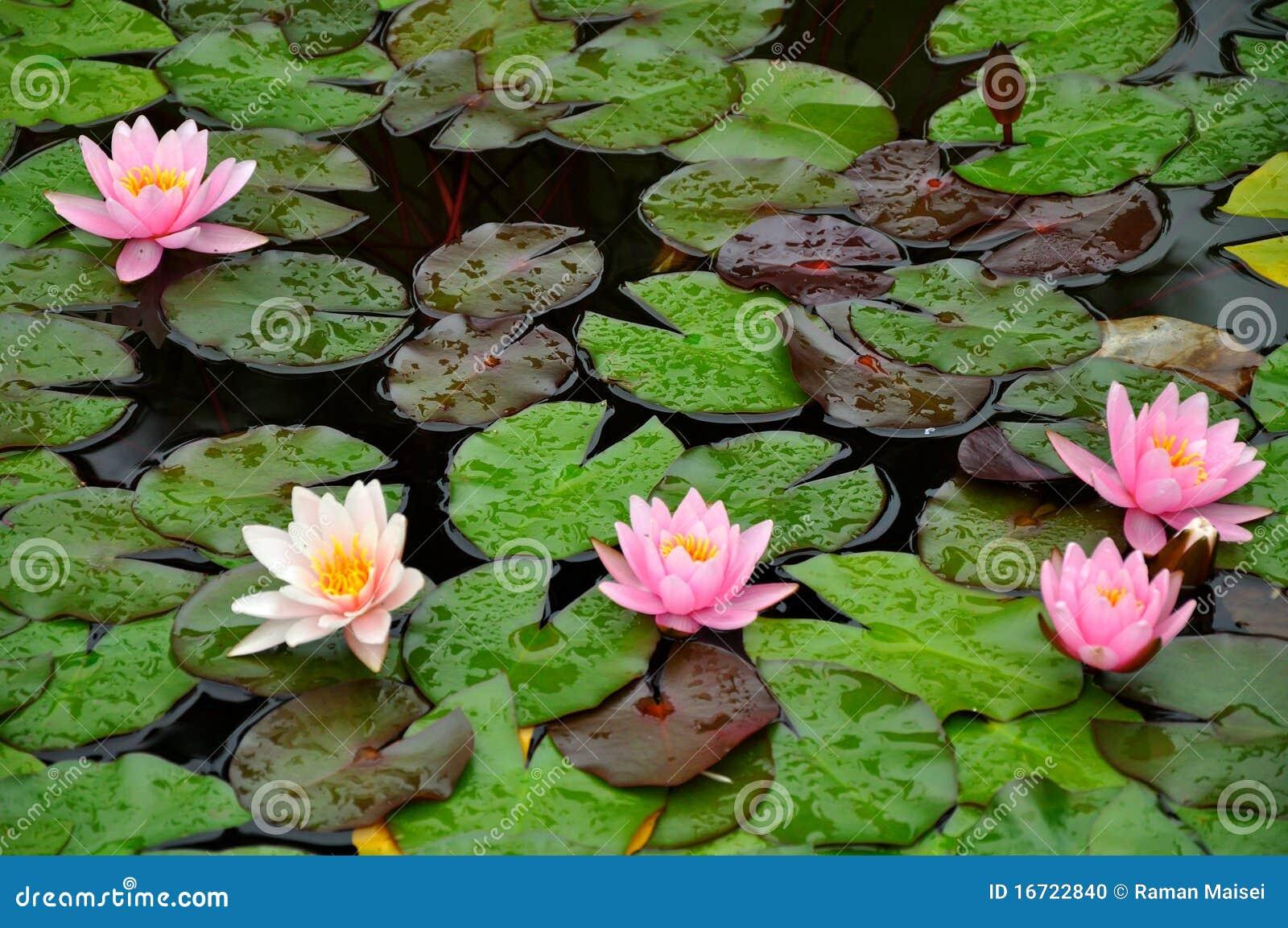 Waterlelies op een vijver