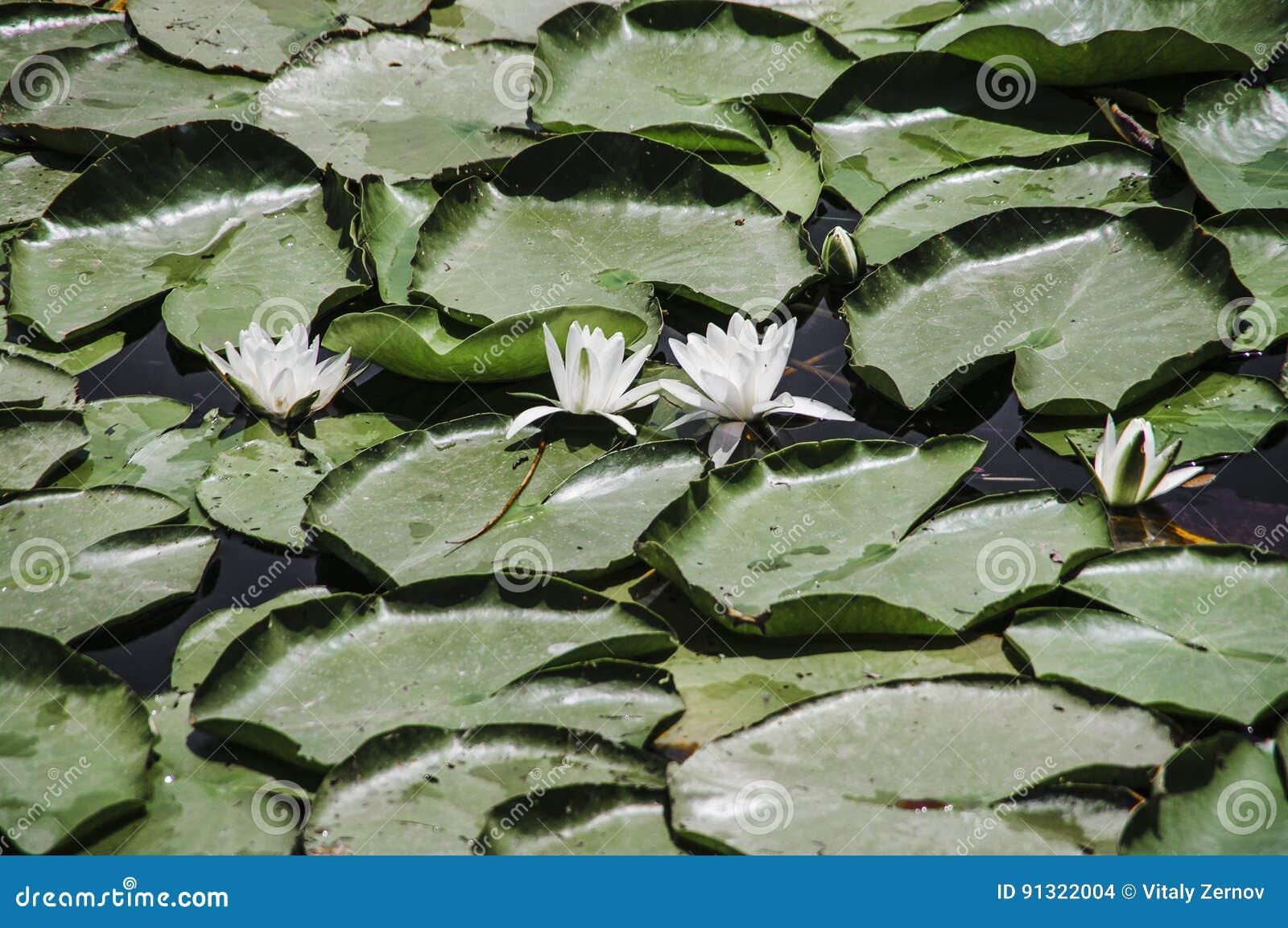 Waterlelies op het meer