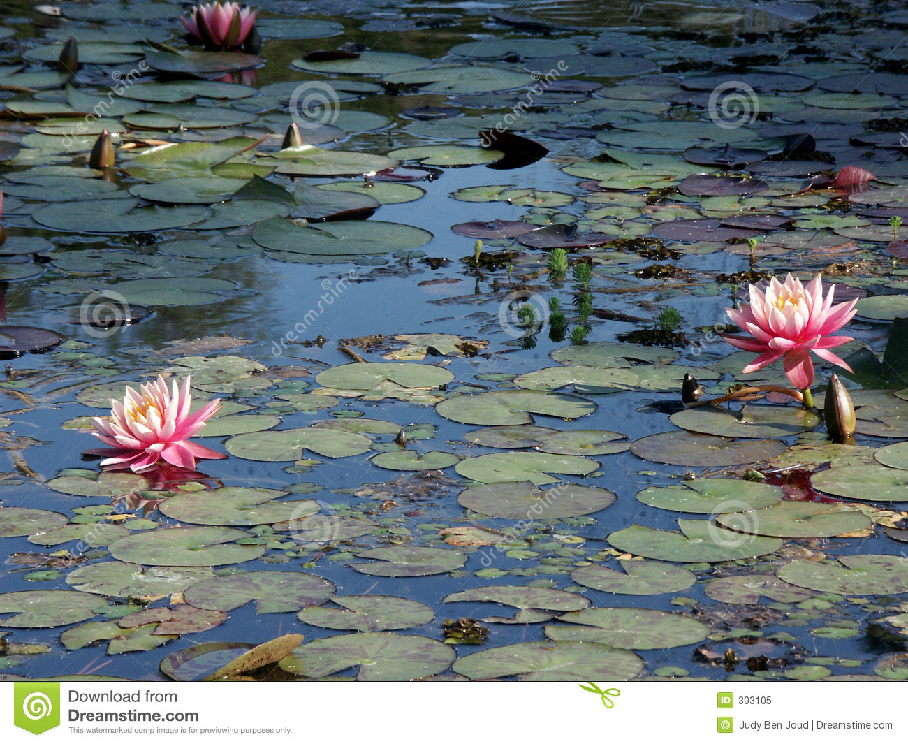 Waterlillies