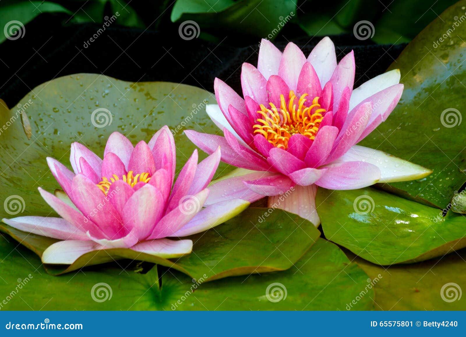 Waterlillies cor-de-rosa bonitos na flor