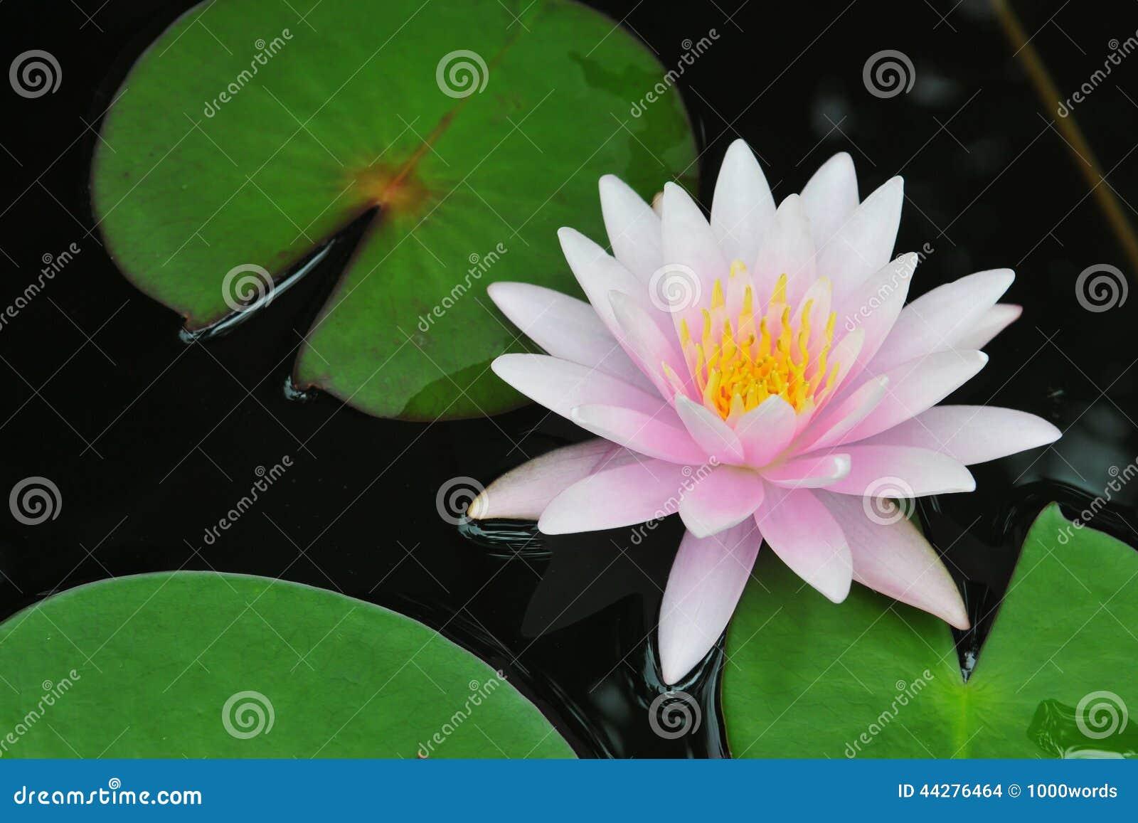 Waterlily桃红色或莲花