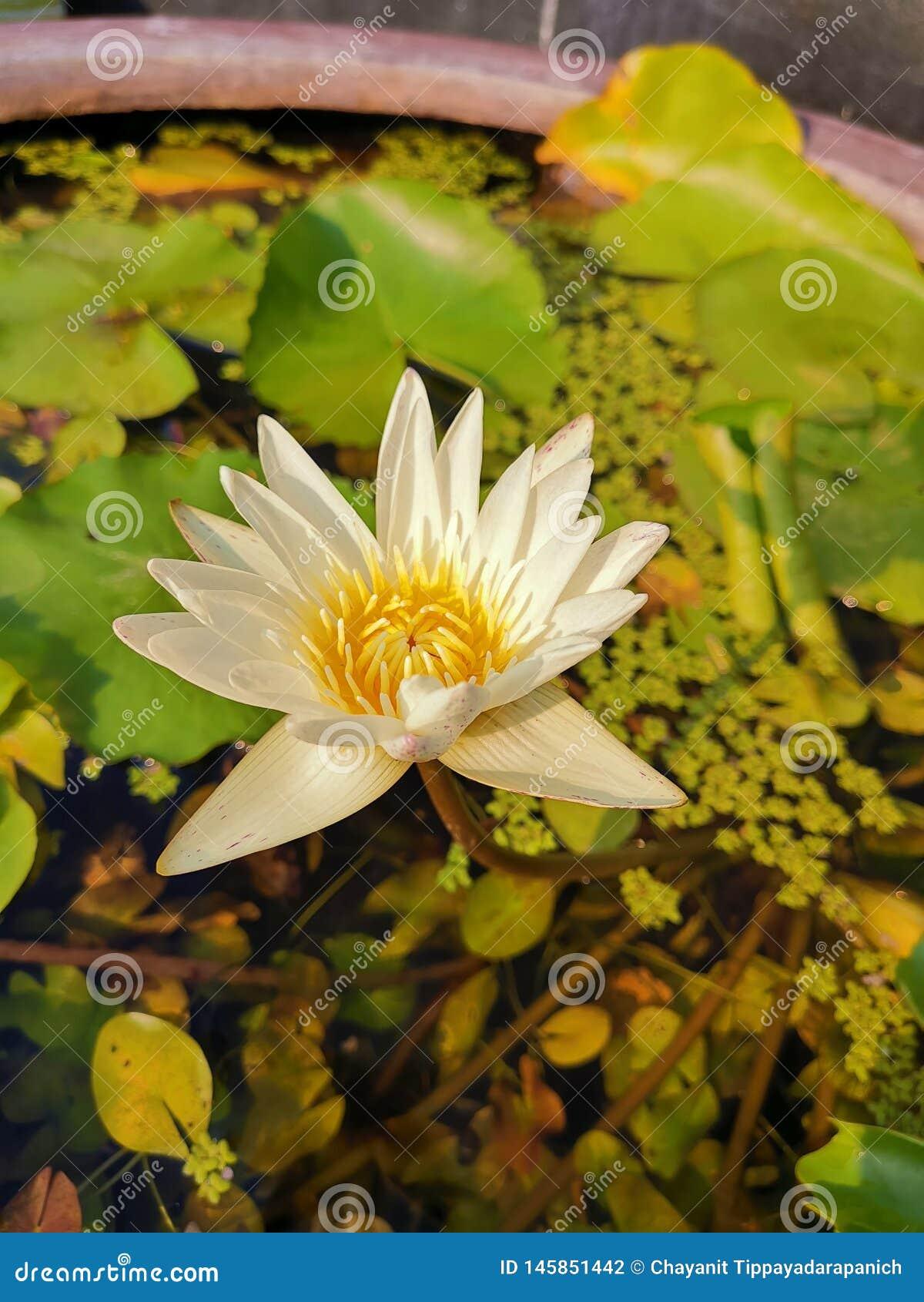 Waterlily美好的白色在平衡阳光下的池塘