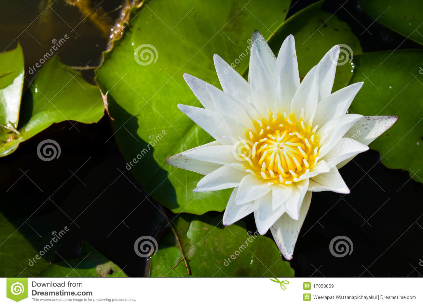 Waterlily λευκό