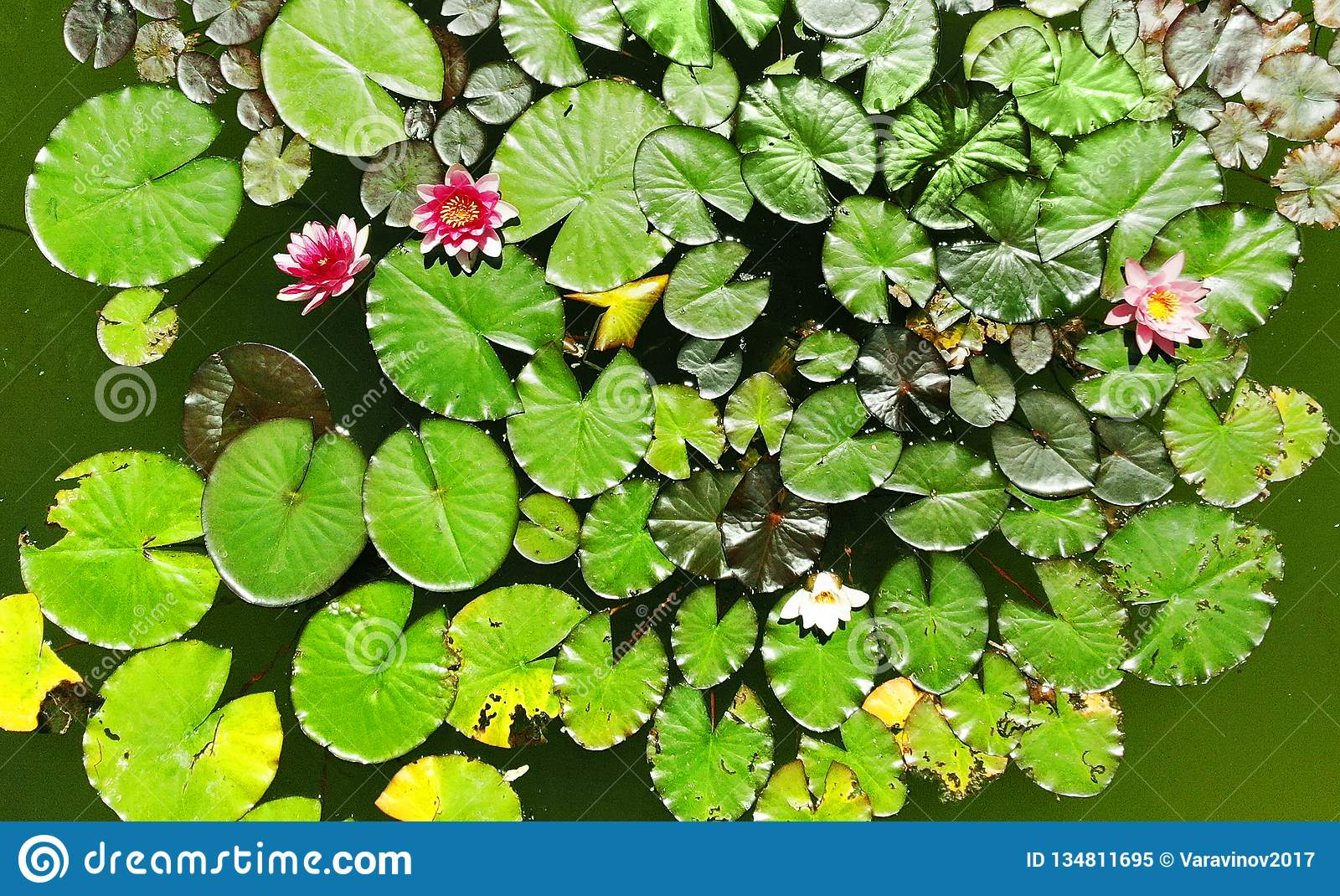 Waterlily Background. Top View. Stock Image - Image of ...