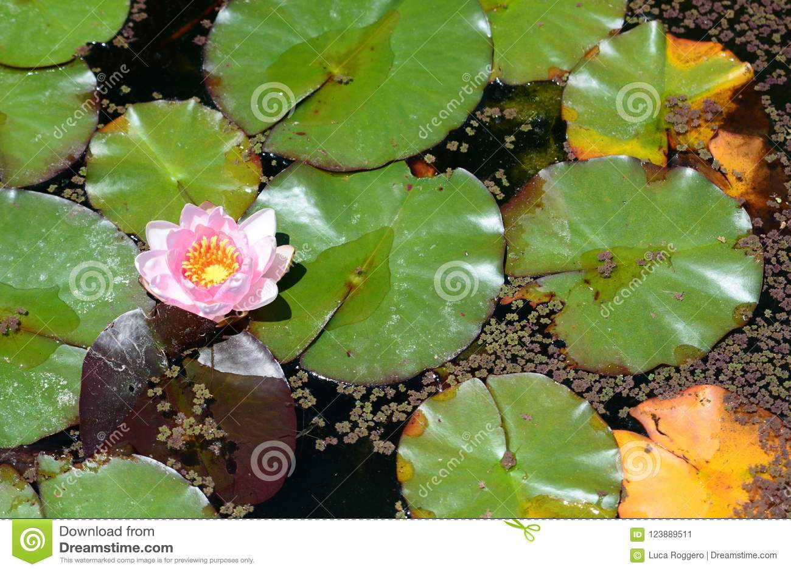 WaterLily kwiat ogród botaniczny kyoto Japonia