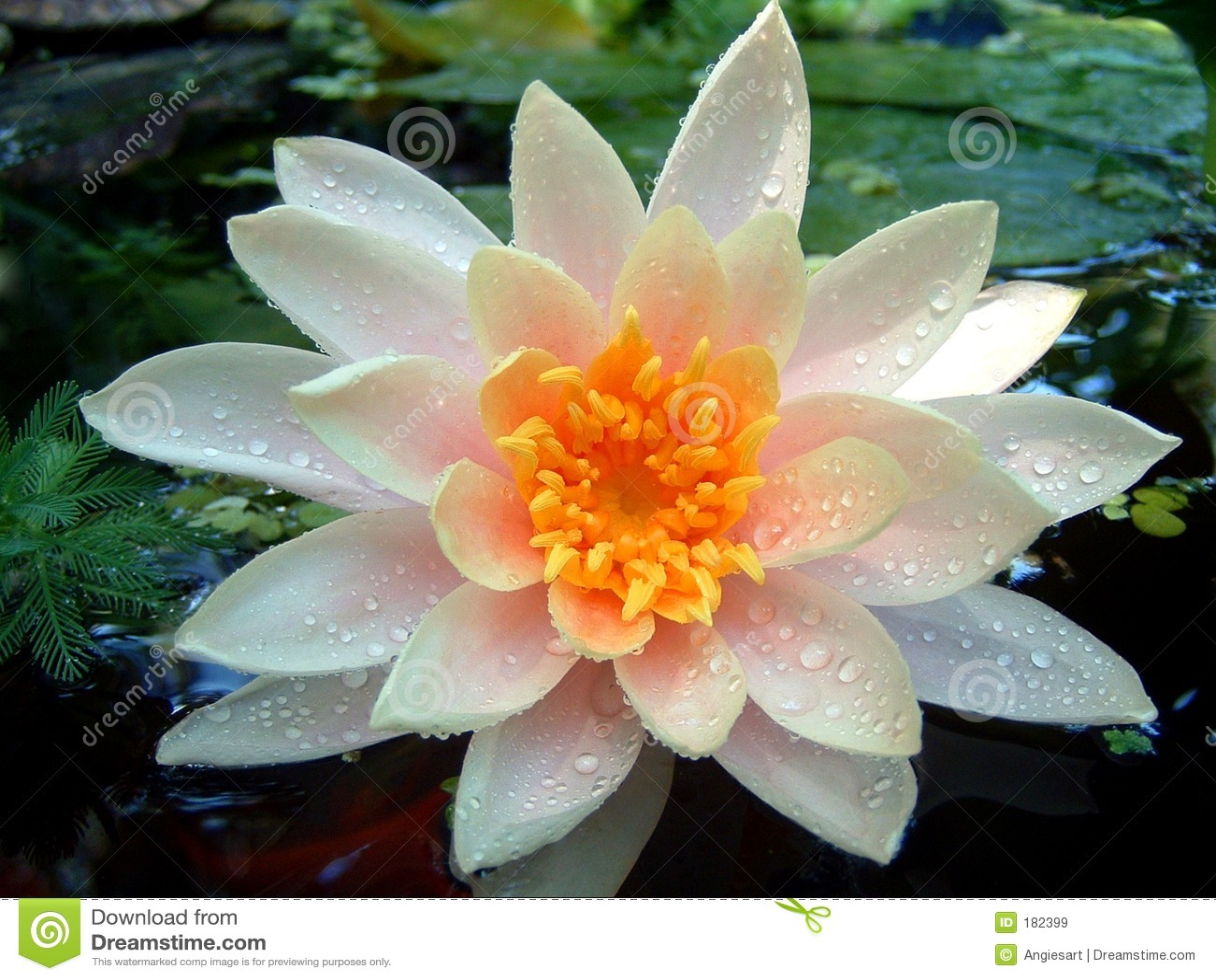 Waterlily mojado