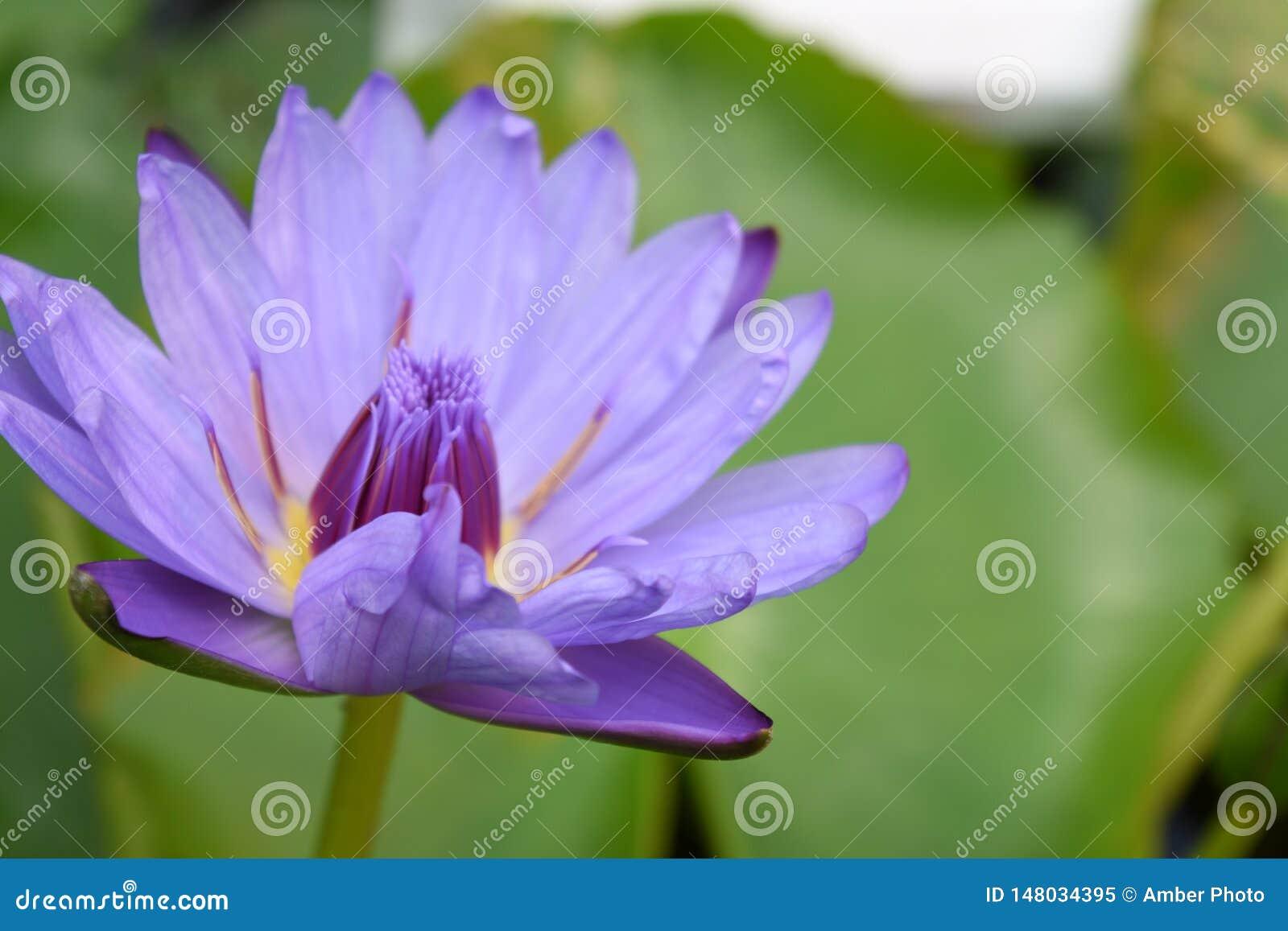 Waterlily púrpura azul cerca para arriba