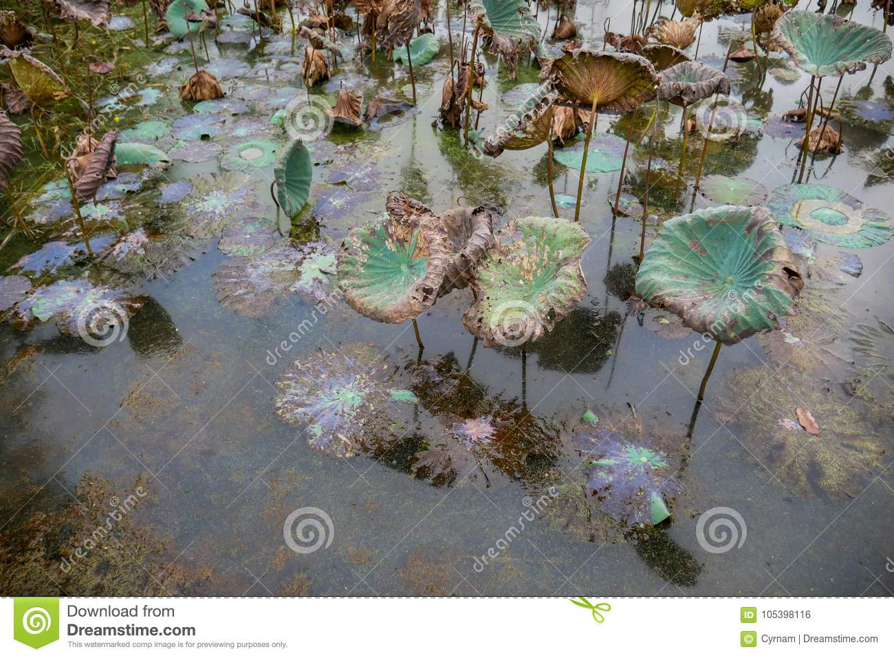 Waterlily pond dry and dead water lilies dead lotus flower download waterlily pond dry and dead water lilies dead lotus flower beautiful colored izmirmasajfo