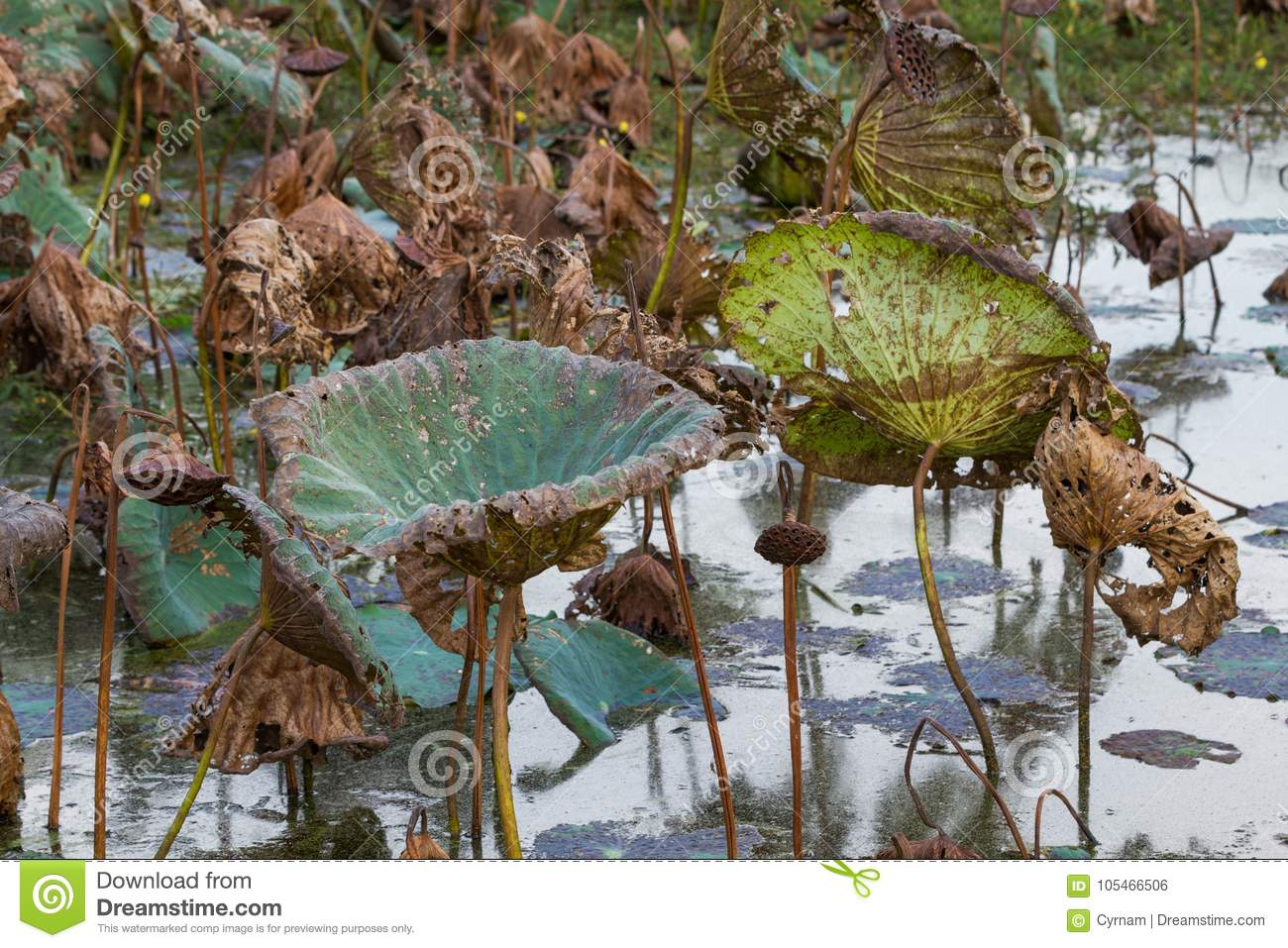 Waterlily pond dry and dead water lilies dead lotus flower waterlily pond dry and dead water lilies dead lotus flower beautiful colored background izmirmasajfo