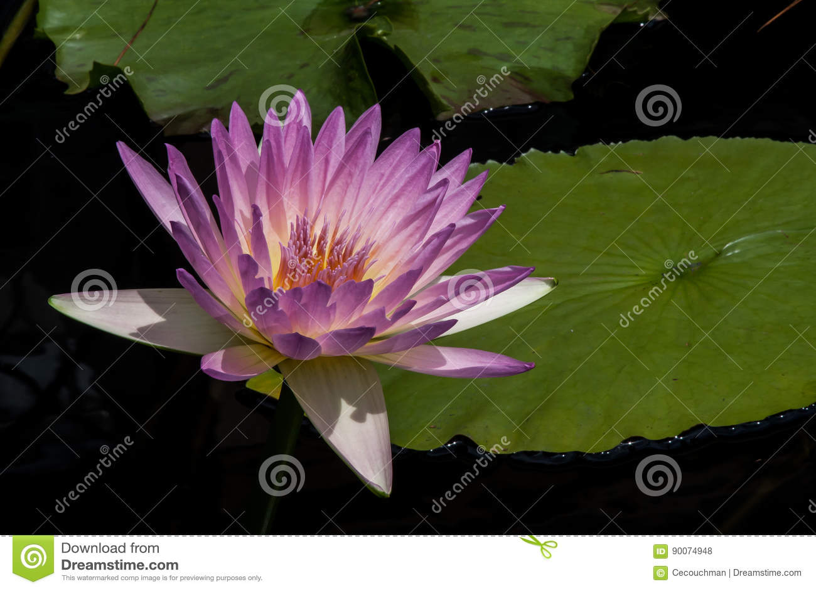 Waterlily rosáceo
