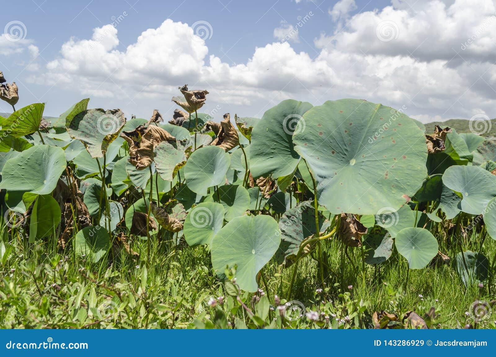 Waterlily växter som växer bland gräs