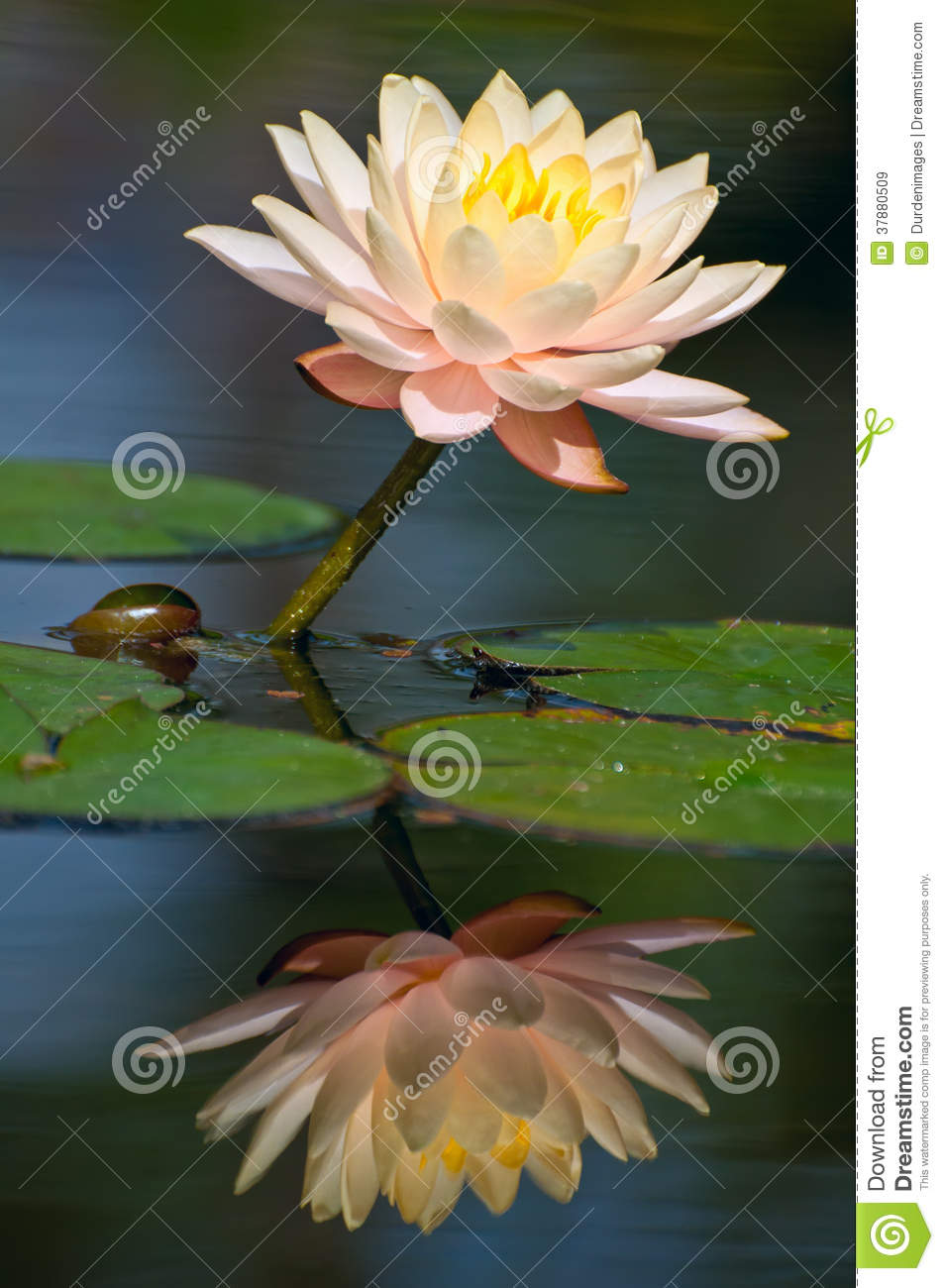 Waterlilybezinning
