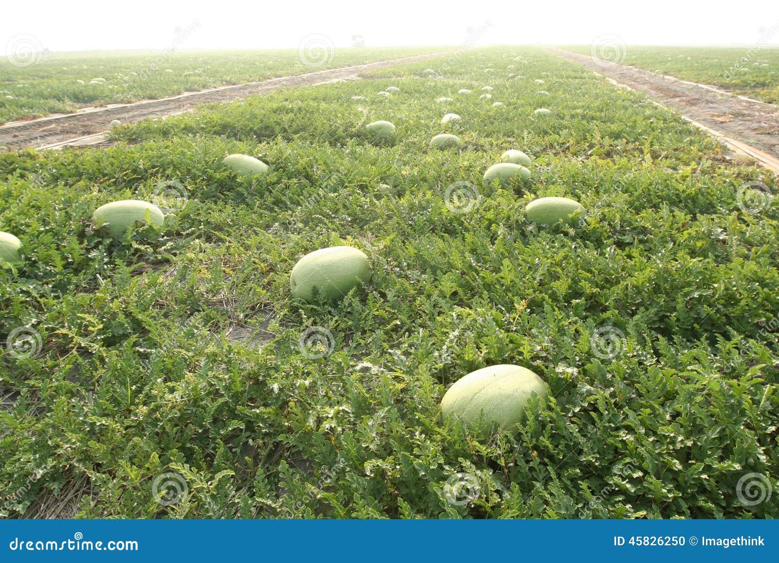 economic importance of watermelon